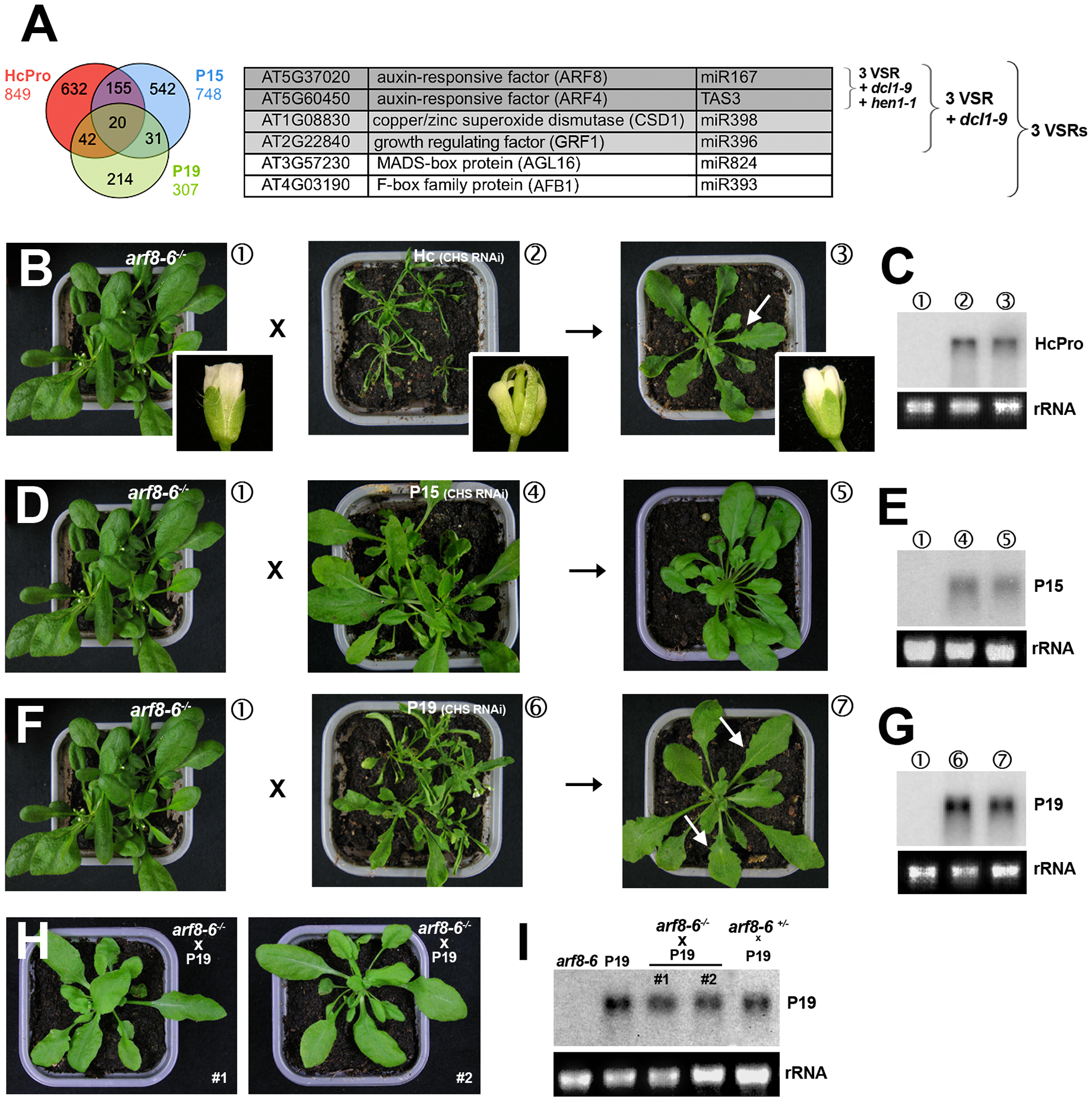 Heterozygous and homozygous <i>arf8</i> mutant backgrounds respectively attenuate and alleviate the developmental phenotypes incurred by VSRs.