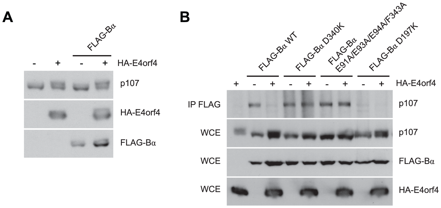E4orf4 causes p107 hyperphosphorylation and prevents binding of p107 to PP2A<sup>B55α</sup>.