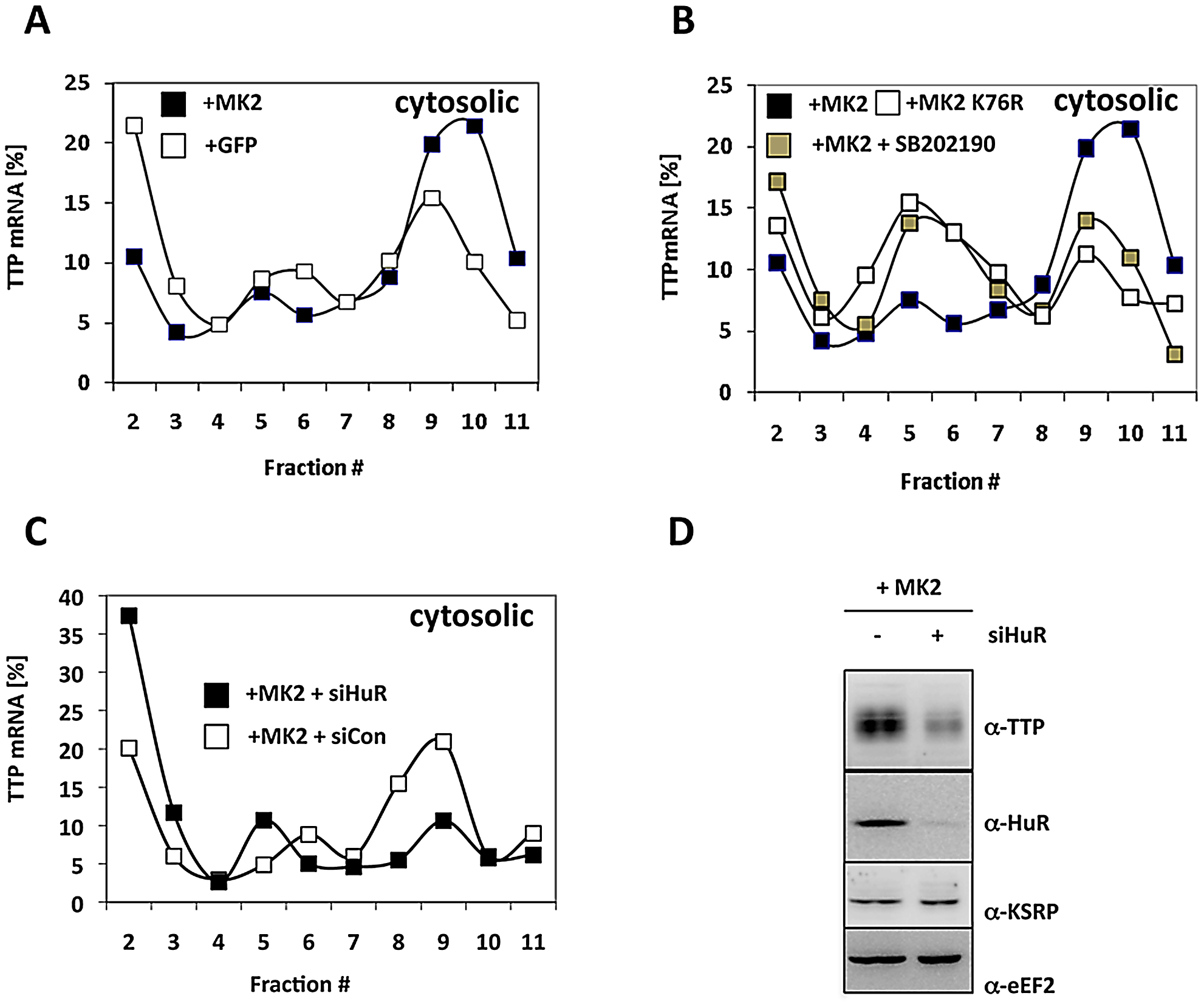 MK2- and HuR–dependent translational regulation of TTP mRNA.
