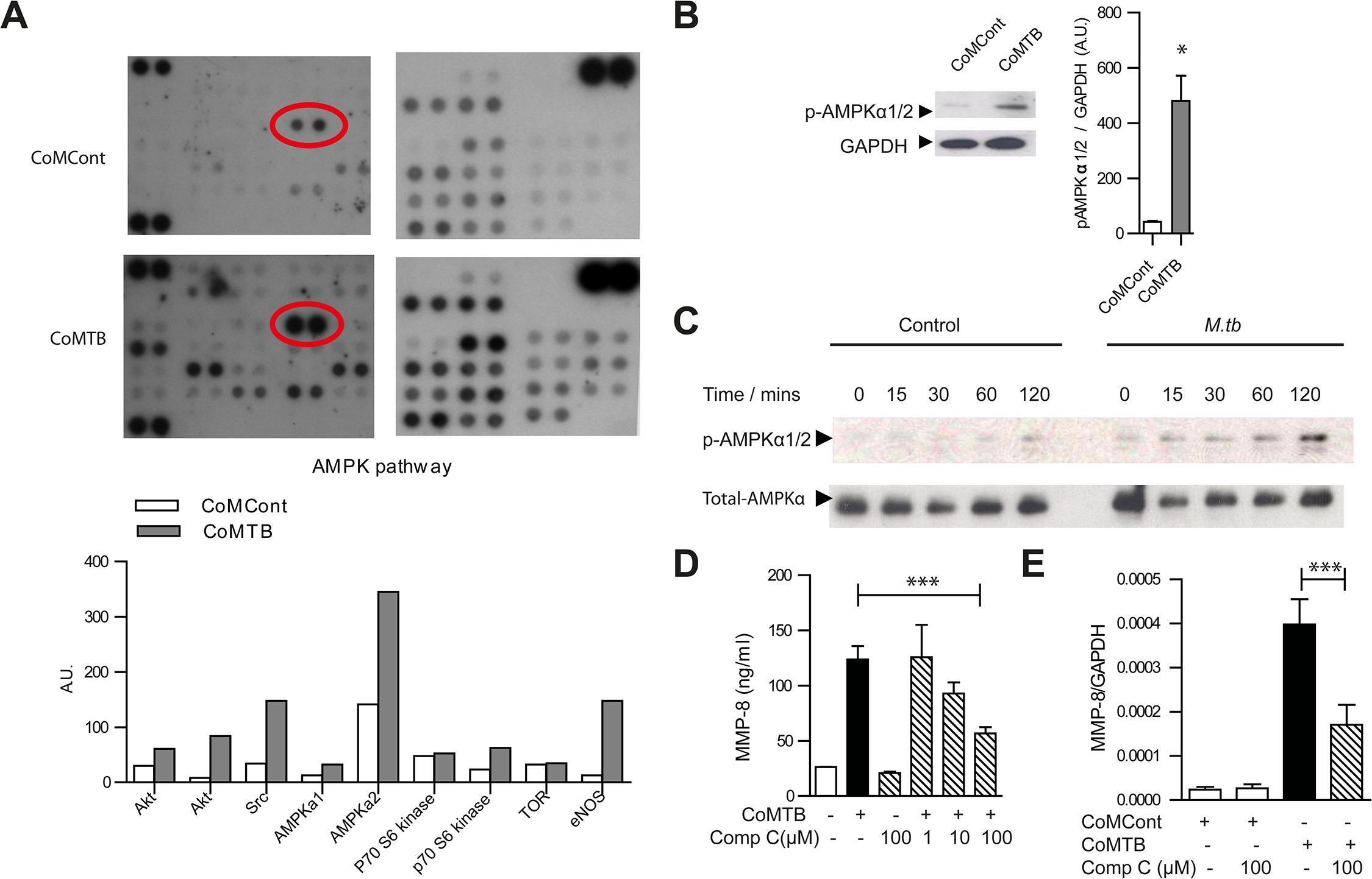 AMPK regulates neutrophil MMP-8 secretion in TB <i>in vitro</i>.