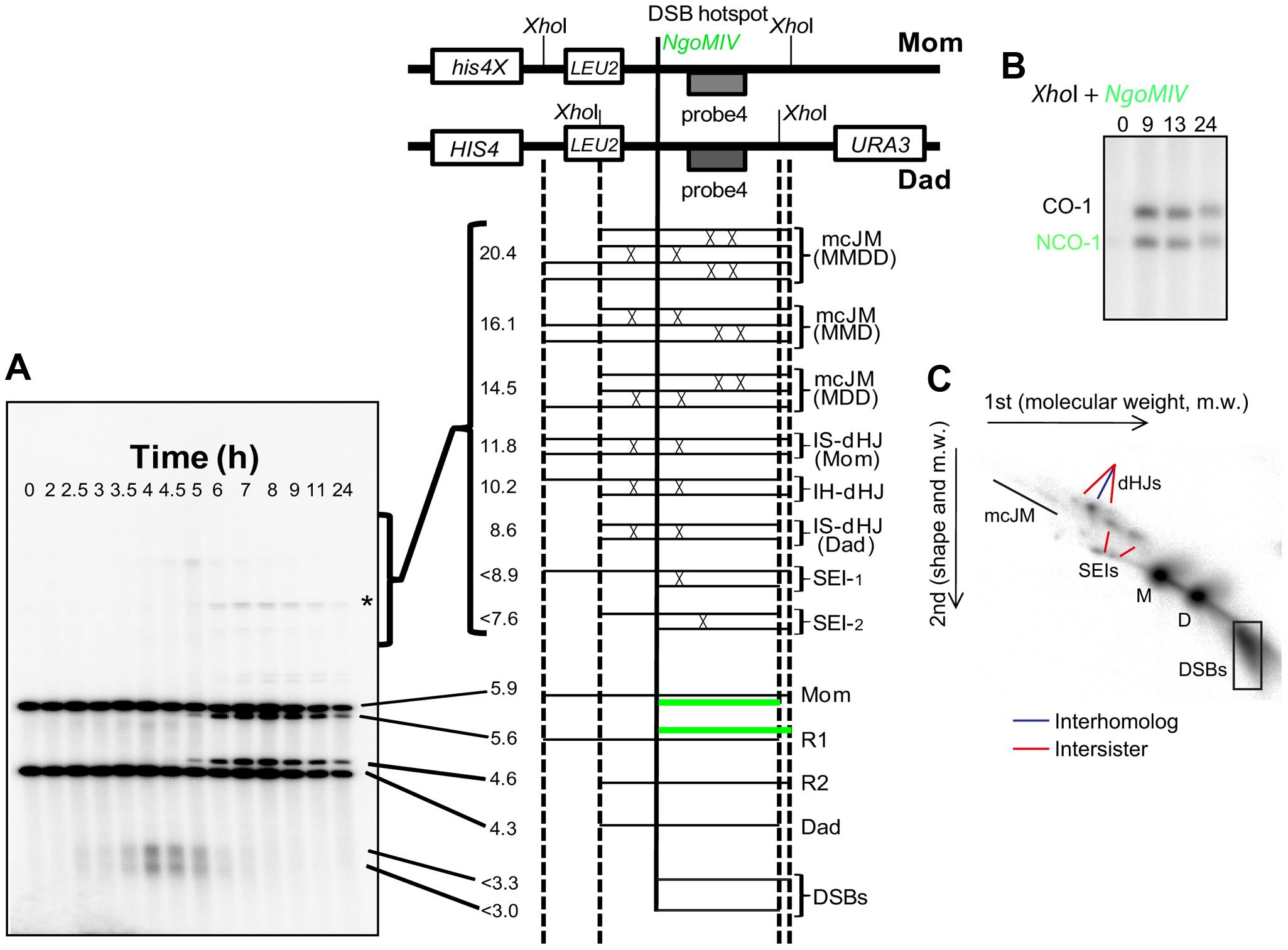 Assessment of meiotic recombination at the <i>HIS4LEU2</i> hotspot.