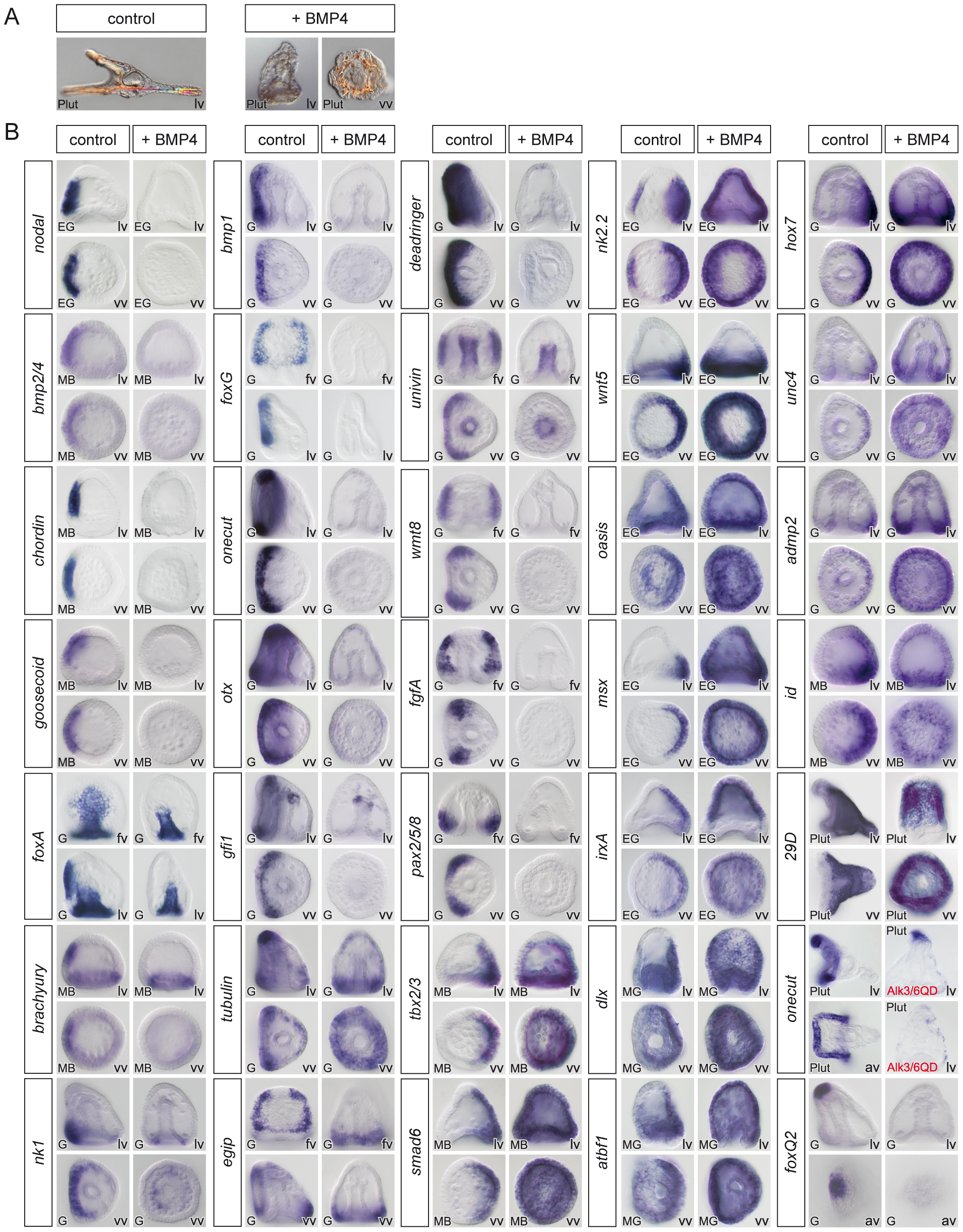 Overactivation of BMP signaling eliminates the expression of ventral and ciliary band marker genes and expands the dorsal territory.