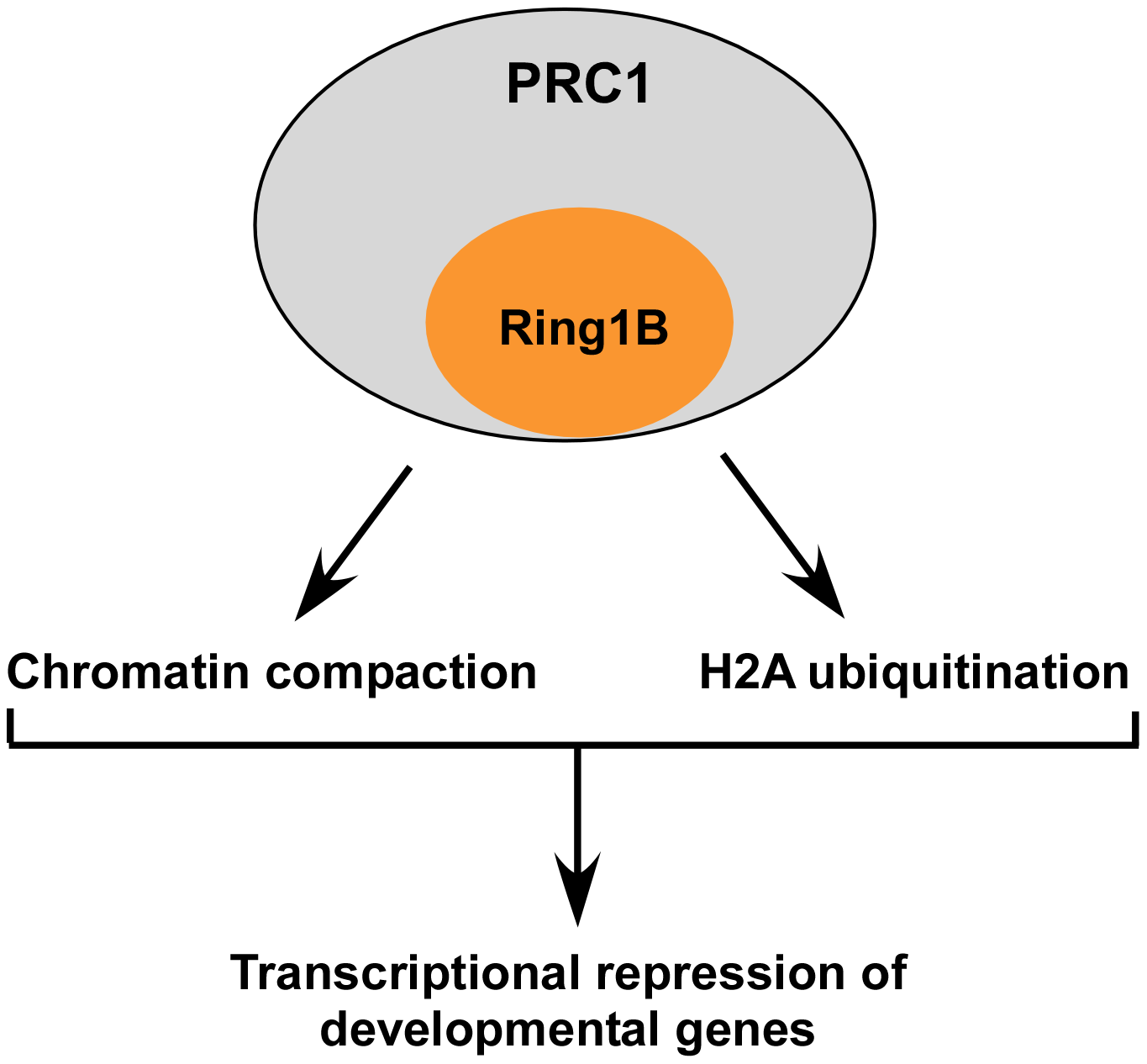 A schematic summary of this study demonstrating that PRC1-dependent repression of developmental genes in ES cells is mediated by multiple effector mechanisms.