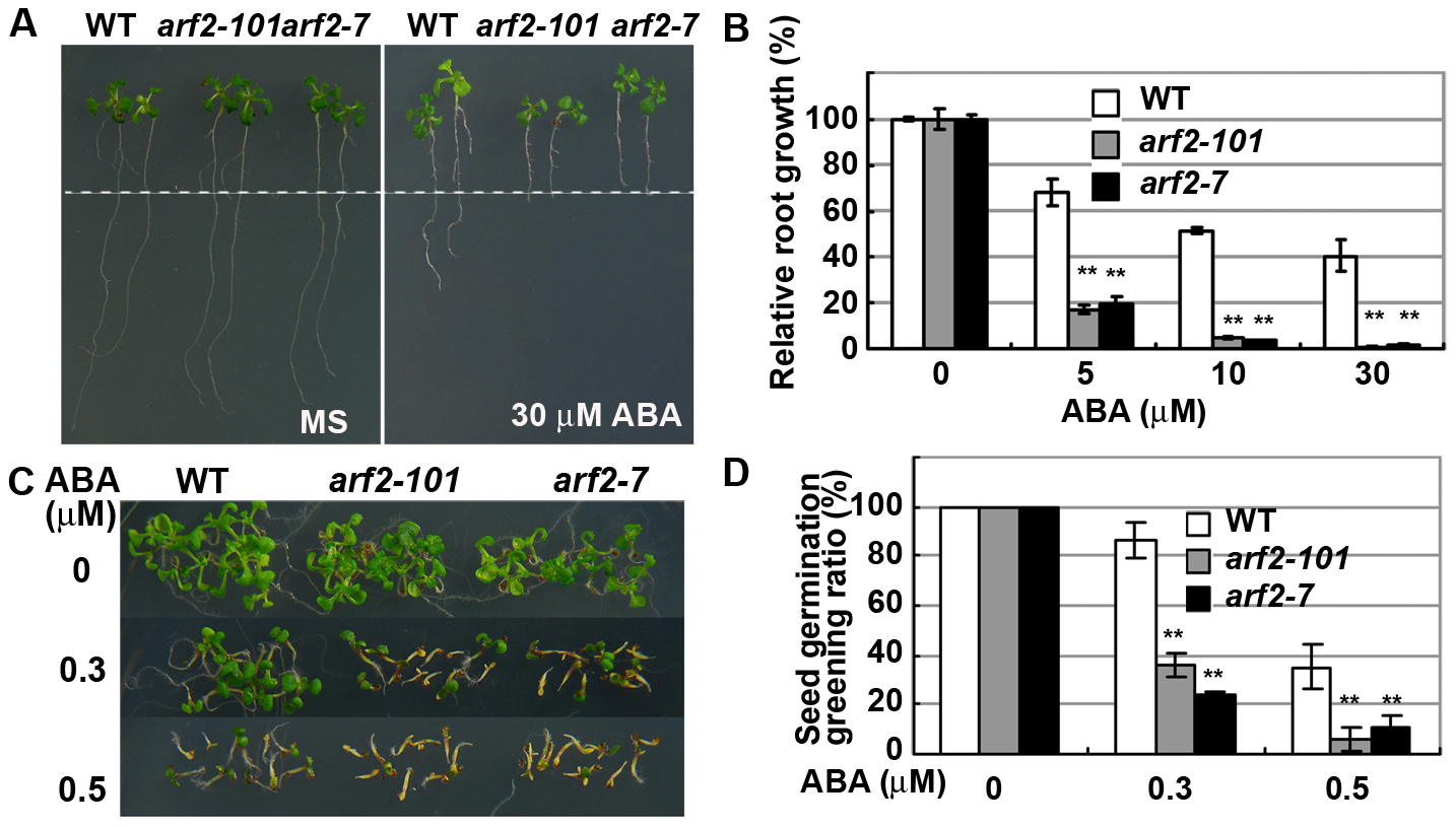 <i>arf2</i> mutants are hypersensitive to ABA.