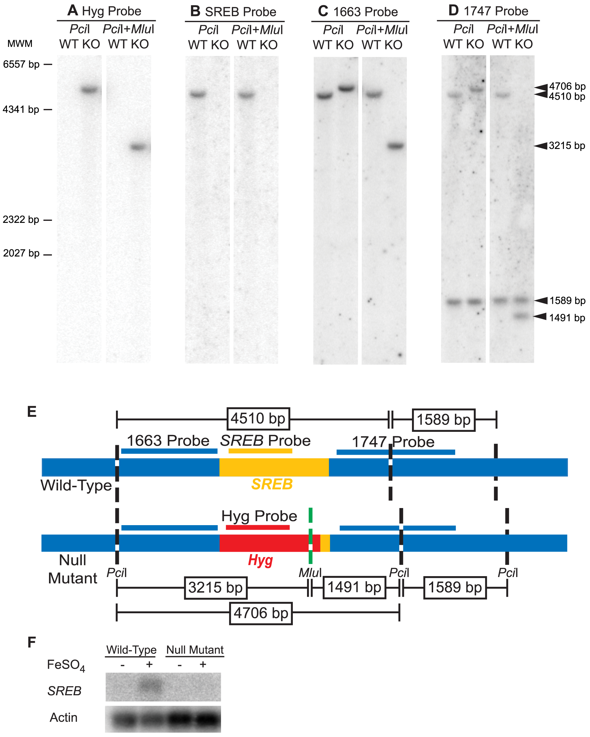 Southern and Northern blot analyses of the <i>SREB</i> null mutant.