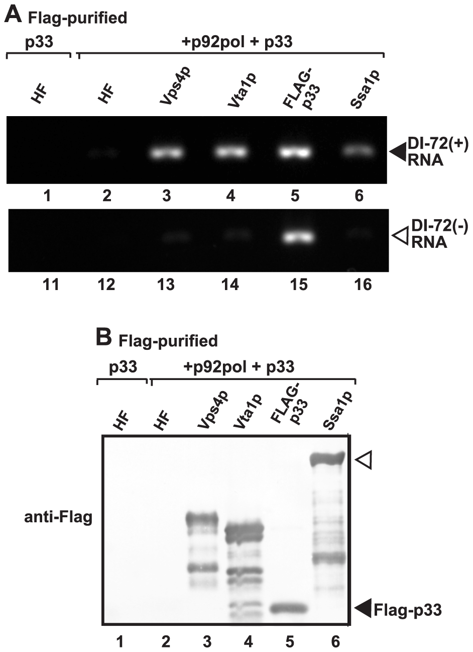 Co-purification of the viral (+)RNA with Vps4p.