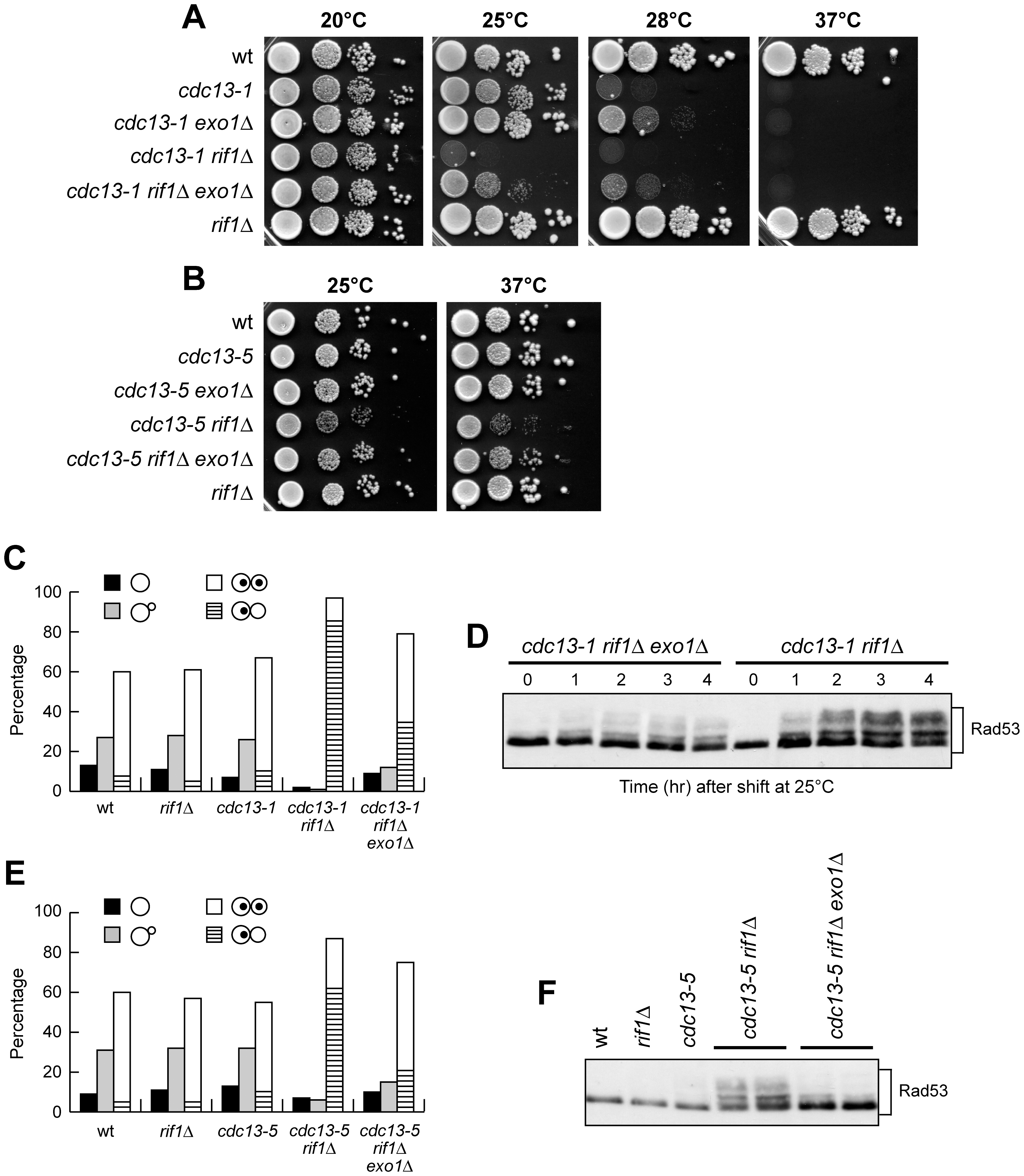 <i>EXO1</i> deletion partially suppresses cell lethality and checkpoint activation in <i>cdc13 rif1</i>Δ cells.