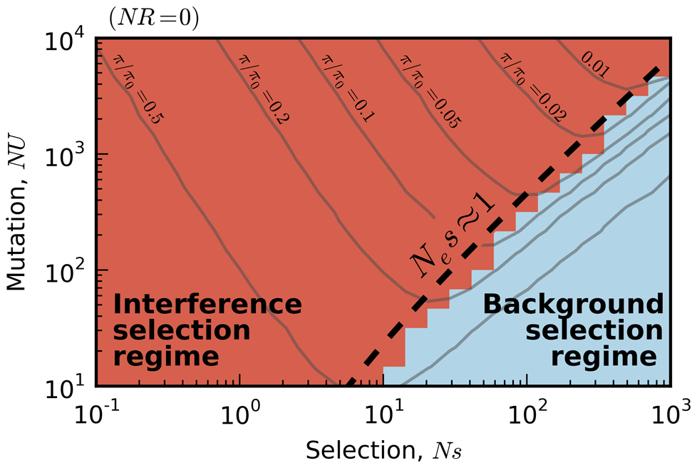 Existing predictions for silent-site diversity break down in the interference selection regime.