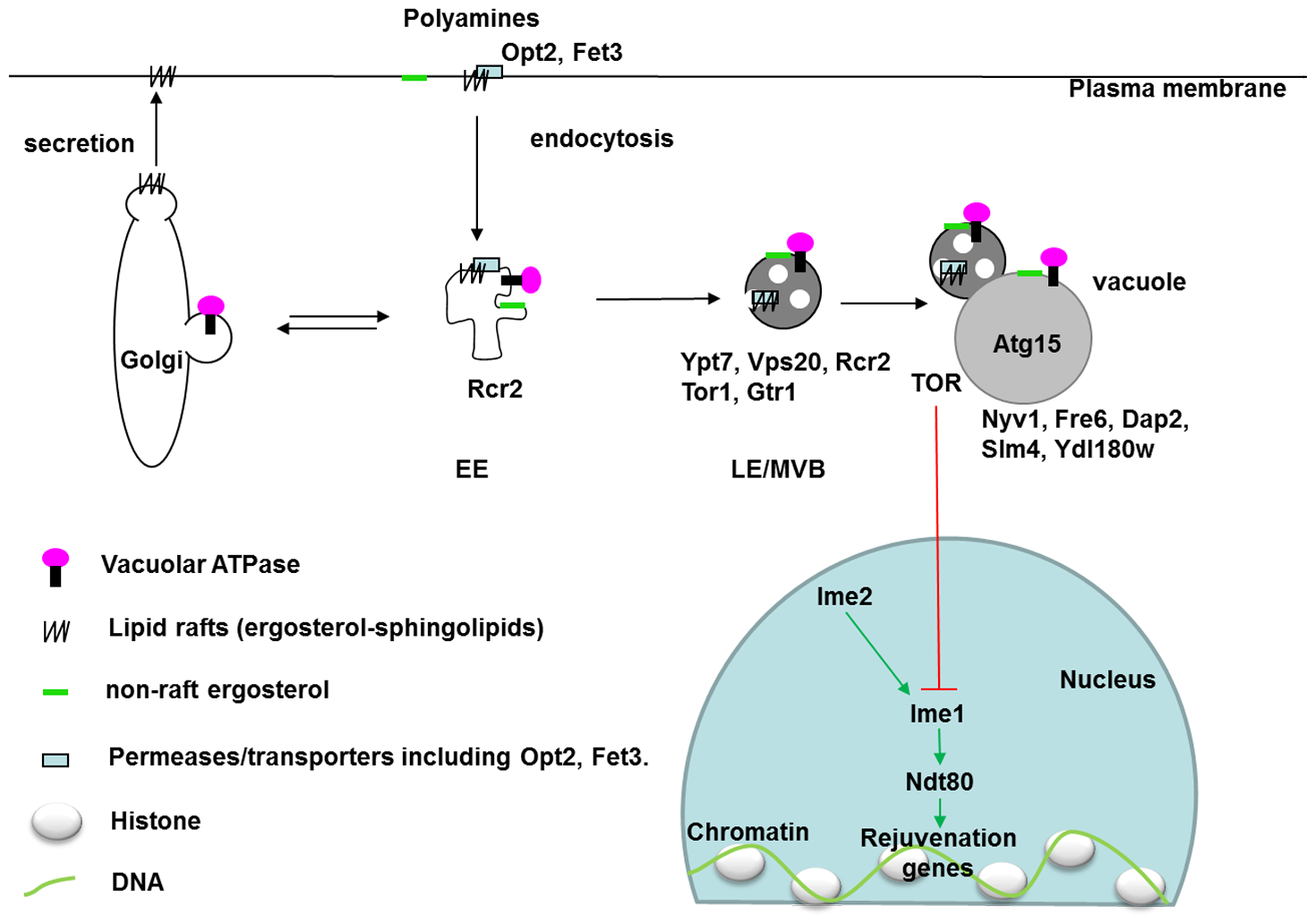 Localization of vacuole-related DR–essential proteins and lipids in yeast cells.