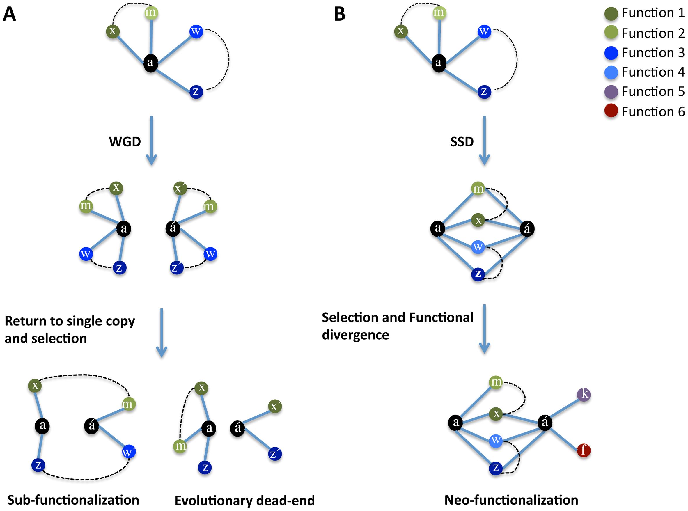 Model of evolution after gene duplication.