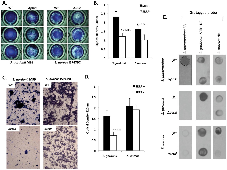 The SRRPs of <i>S. gordonii</i> and <i>S. aureus</i> promote bacterial aggregation.