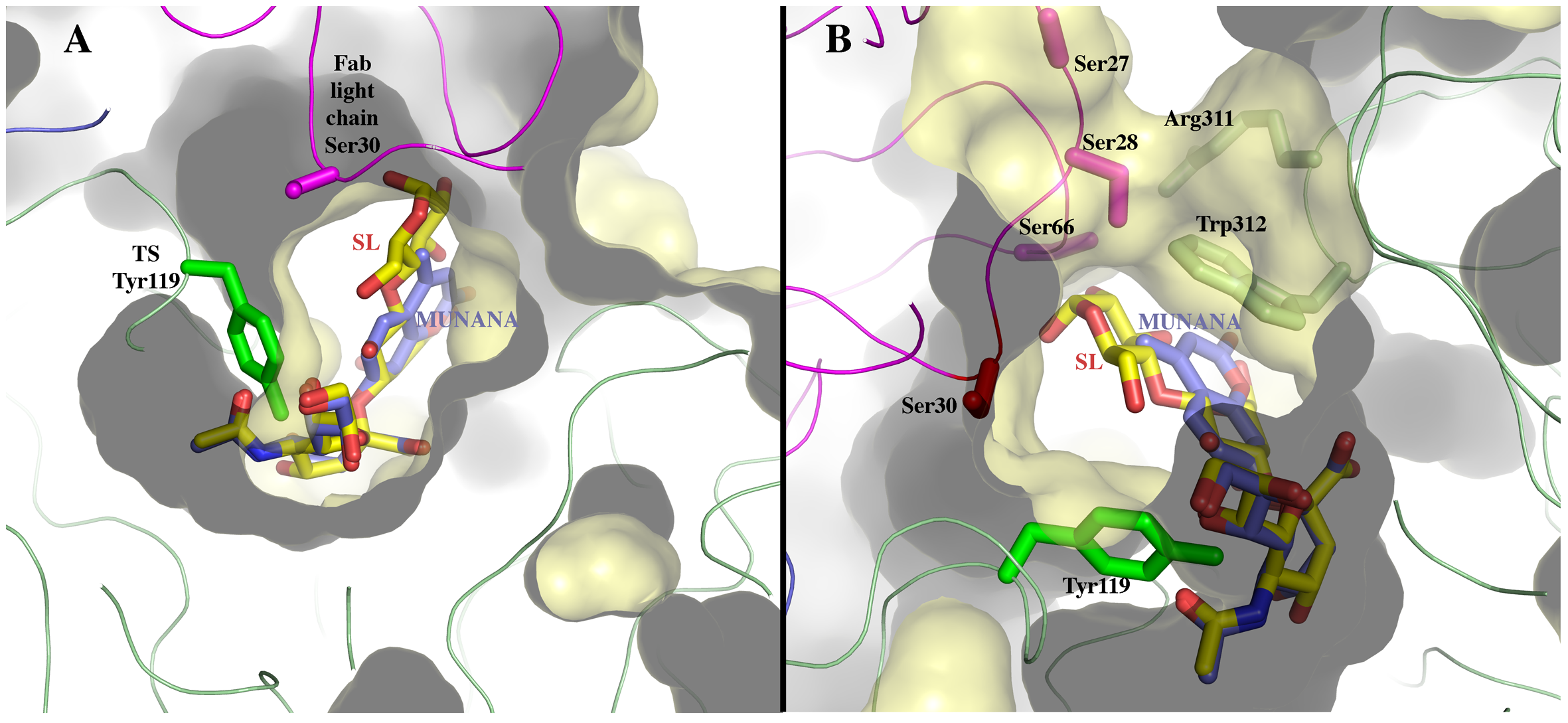 Sialoconjugate substrates modeled in the TS reaction center, in the context of the immunocomplex structure.
