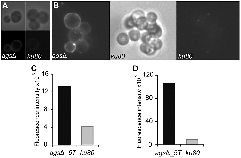 Labeling of the surfaces of <i>ags</i>Δ_<i>5T</i> and parental strain swollen conidia by WGA and the β(1,3)-glucan receptor GNBP3.
