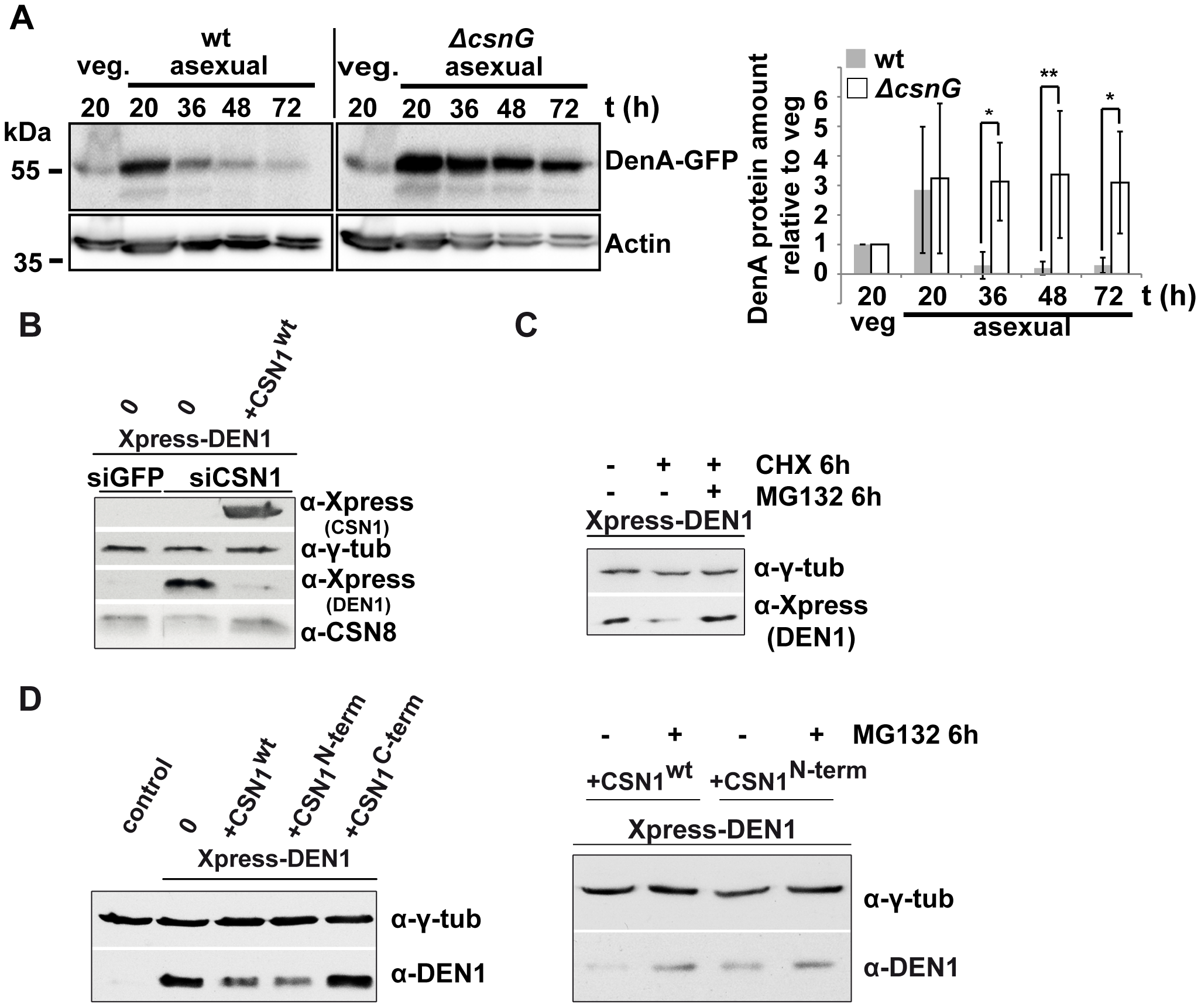 CSN targets DEN1/DenA for degradation in fungal and human cells.