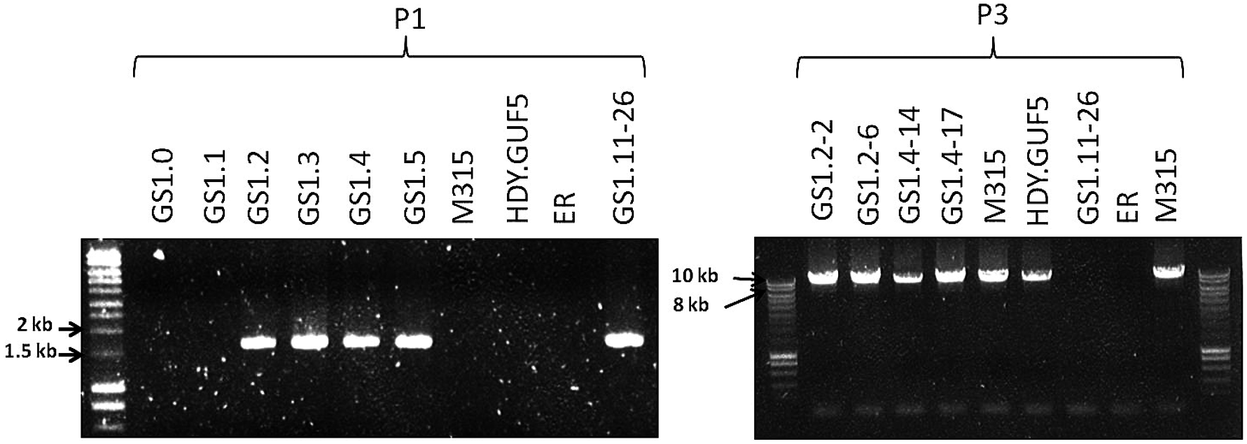 Evaluation of the <i>XylA-</i>locus in cultures and single cell clones obtained from the various stages of the evolutionary adaptation process.
