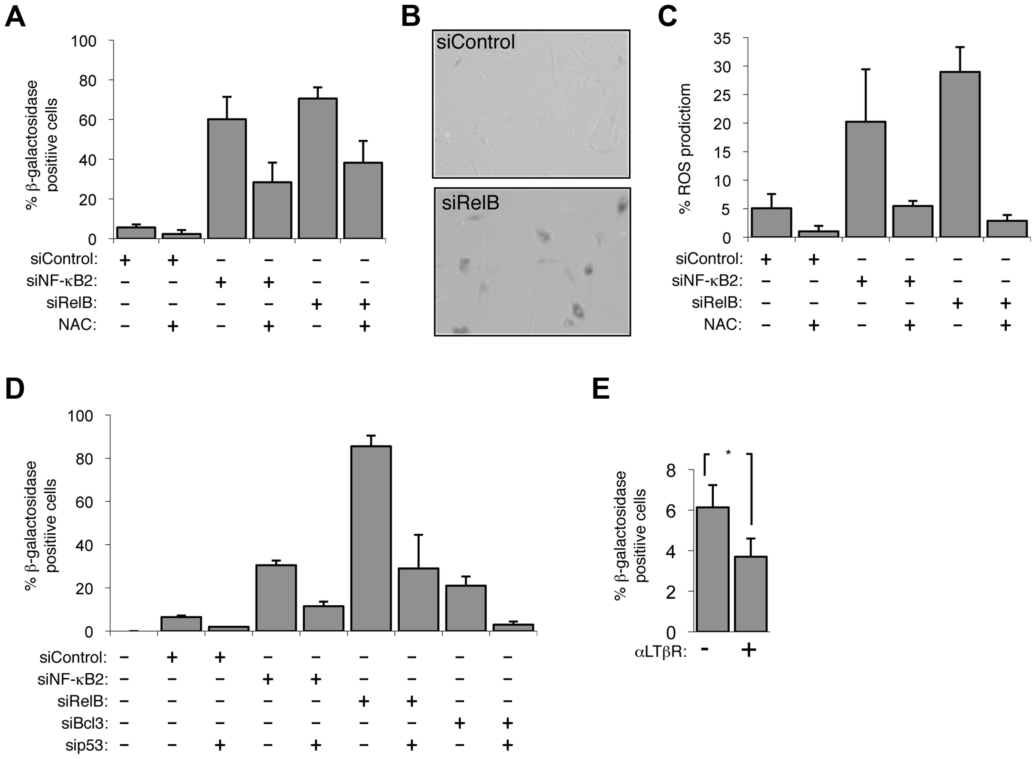 The alternative NF-κB pathway suppresses p53 mediated senescence in primary fibroblasts.