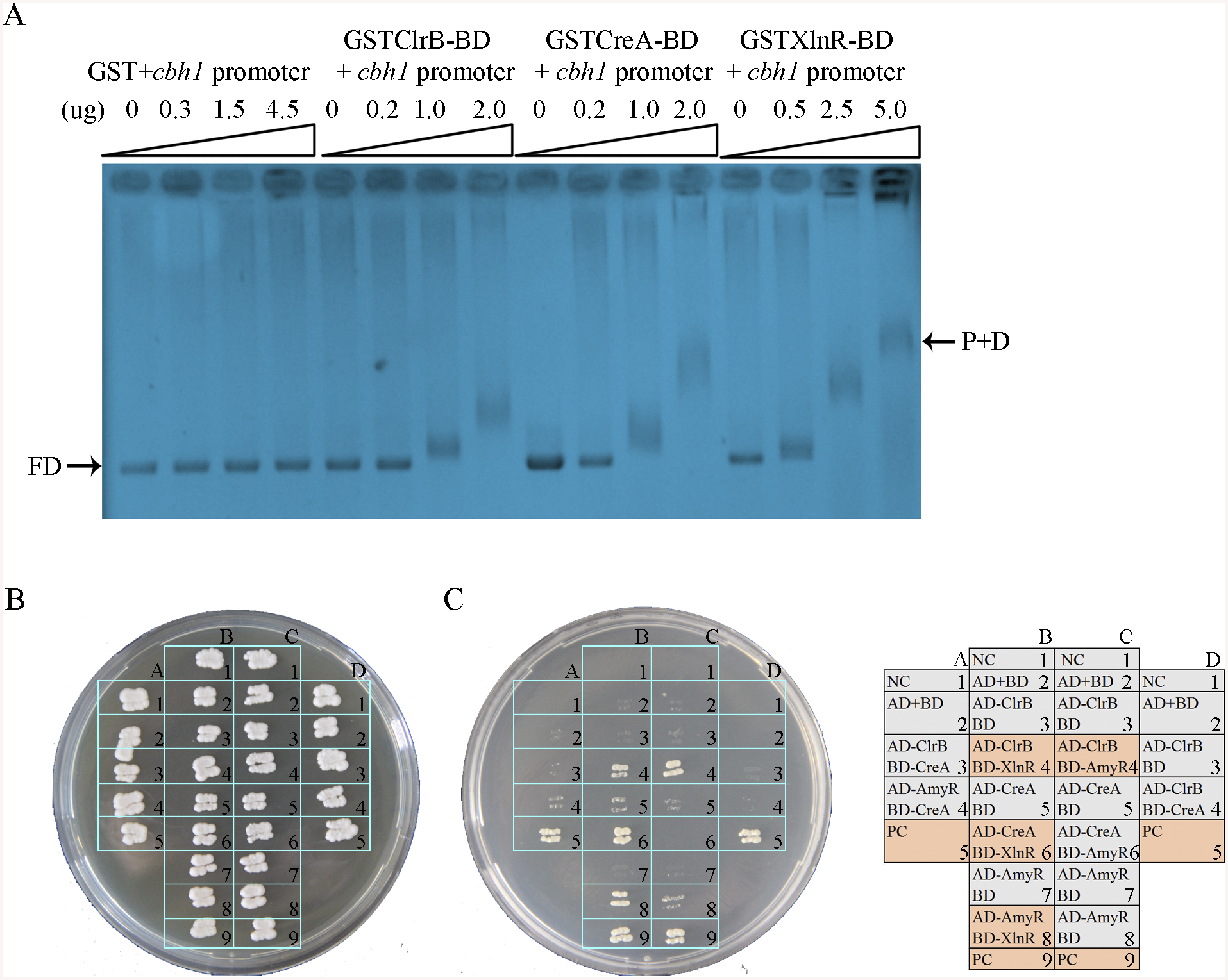 Electrophoretic mobility shift assay and protein interaction among ClrB, CreA, AmyR and XlnR.