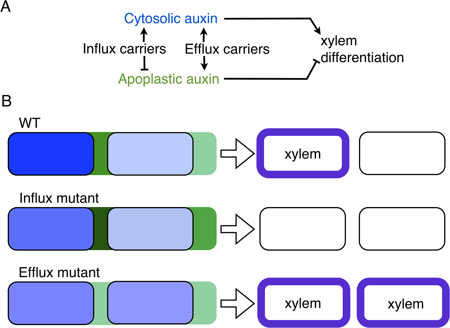 A model of apoplastic and cytoplasmic auxin control of xylem differentiation.