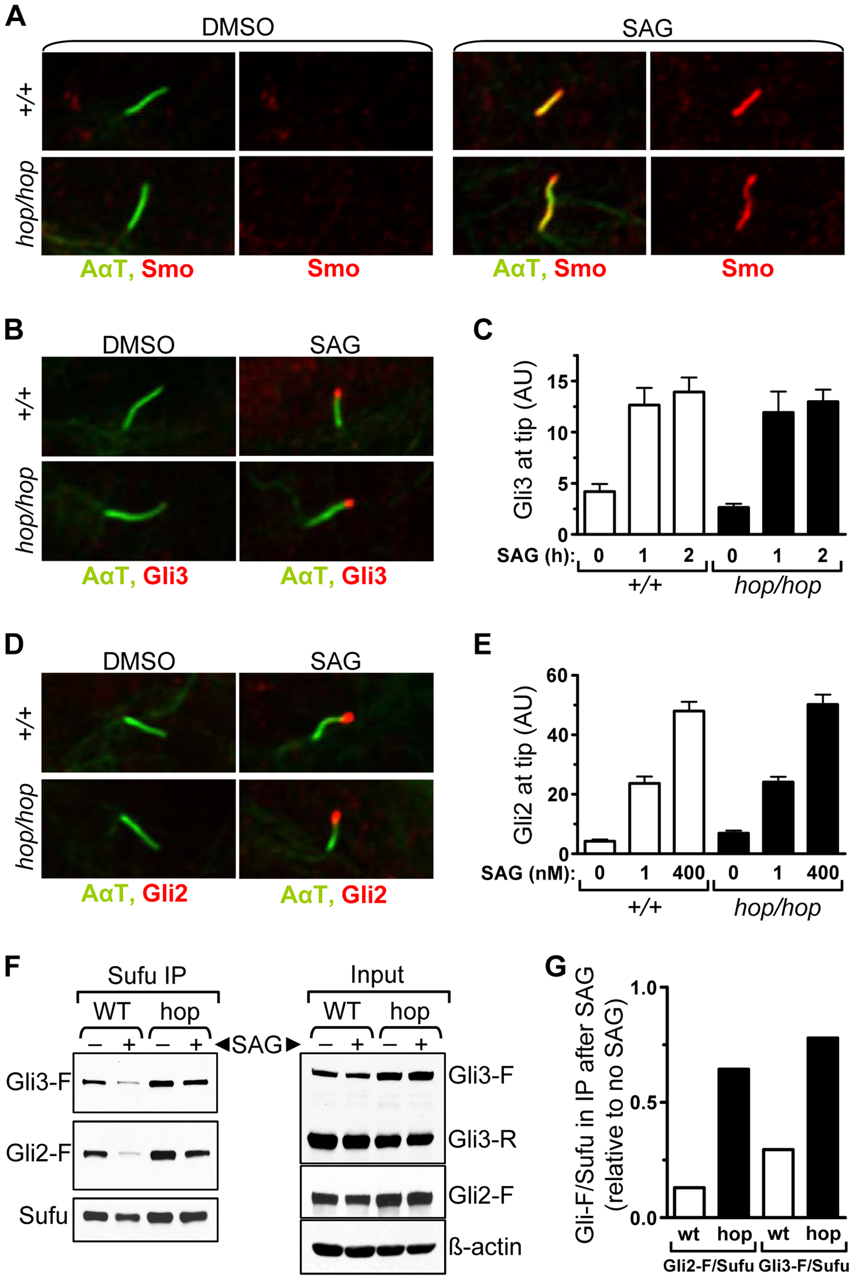 The <i>hop</i> mutation inhibits Gli-Sufu dissociation without altering Gli accumulation at the ciliary tip.
