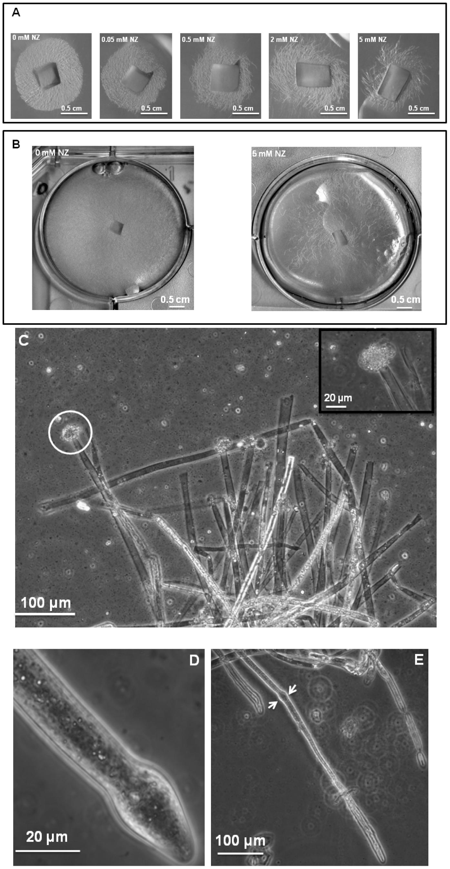 Effect of nikkomycin Z on the growth of <i>S. monoica</i> mycelium.