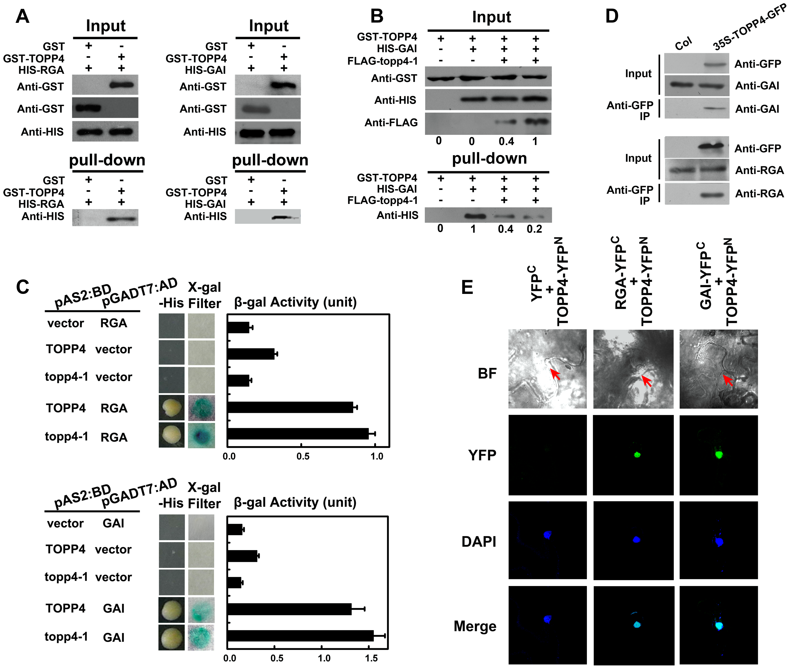 TOPP4 can interact with RGA and GAI both <i>in vitro</i> and <i>in vivo</i>.