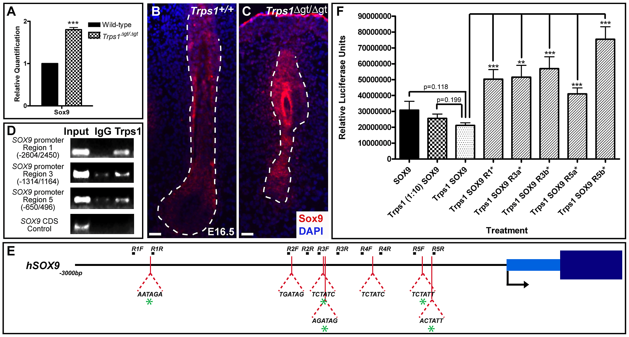 Trps1 directly represses the expression of <i>Sox9</i> in the vibrissa follicle.