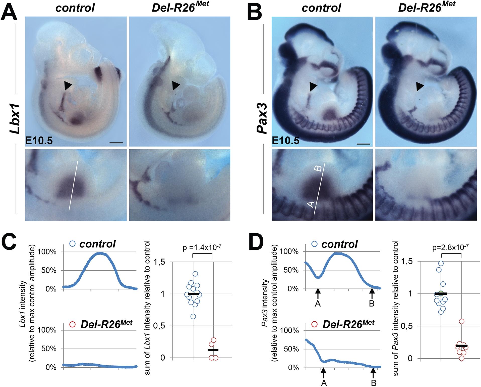 Myoblast migration is impaired in <i>Del-R26</i><sup><i>Met</i></sup> mutants.