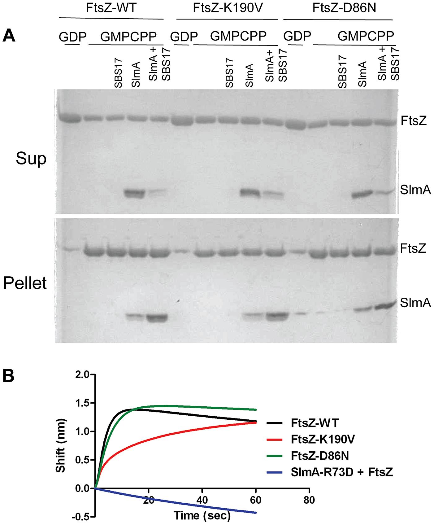 FtsZ-K190V and FtsZ-D86N bind SlmA.