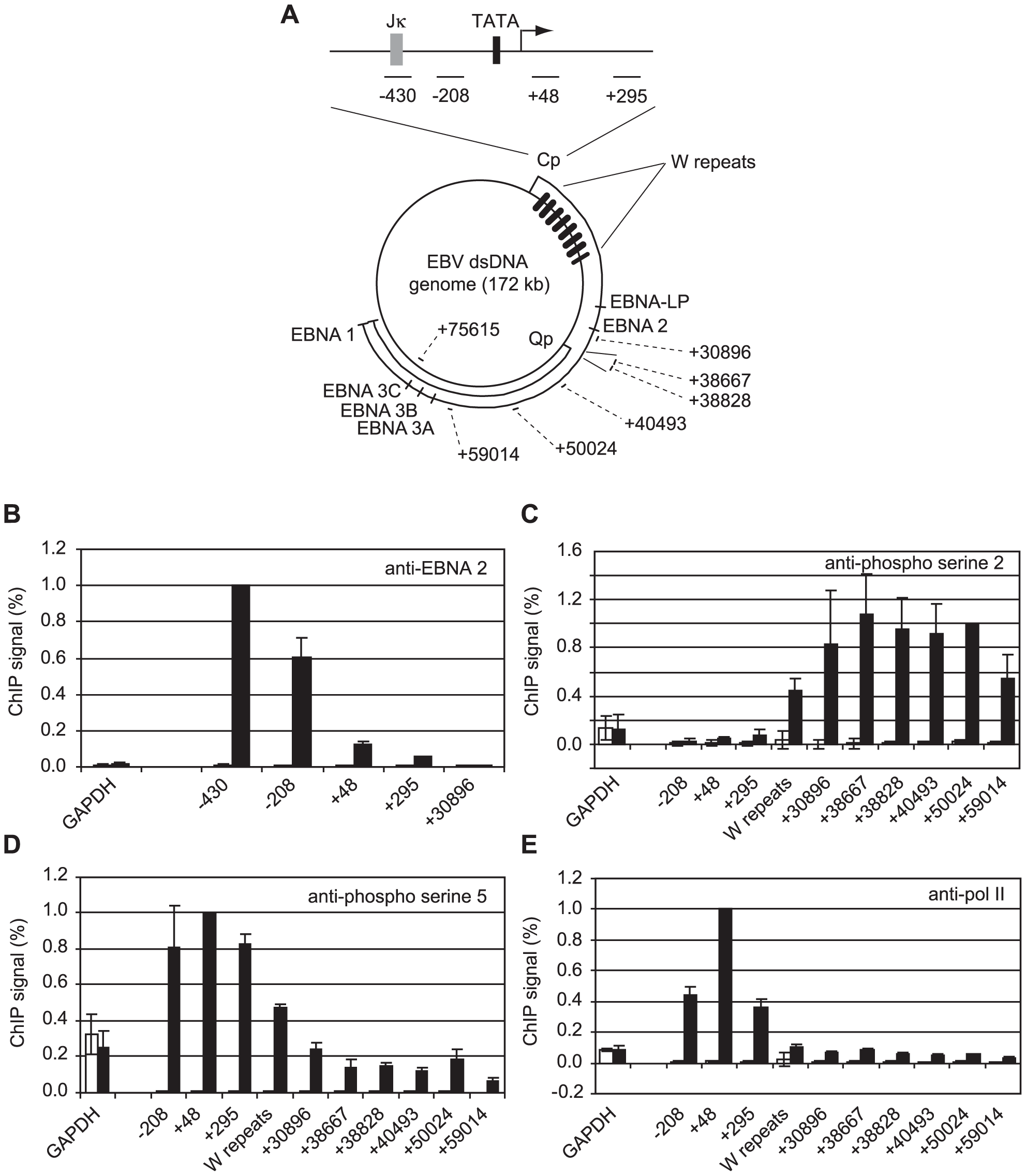 High-level pol II accumulation at Cp and CTD phosphorylation at distal EBV genome regions.