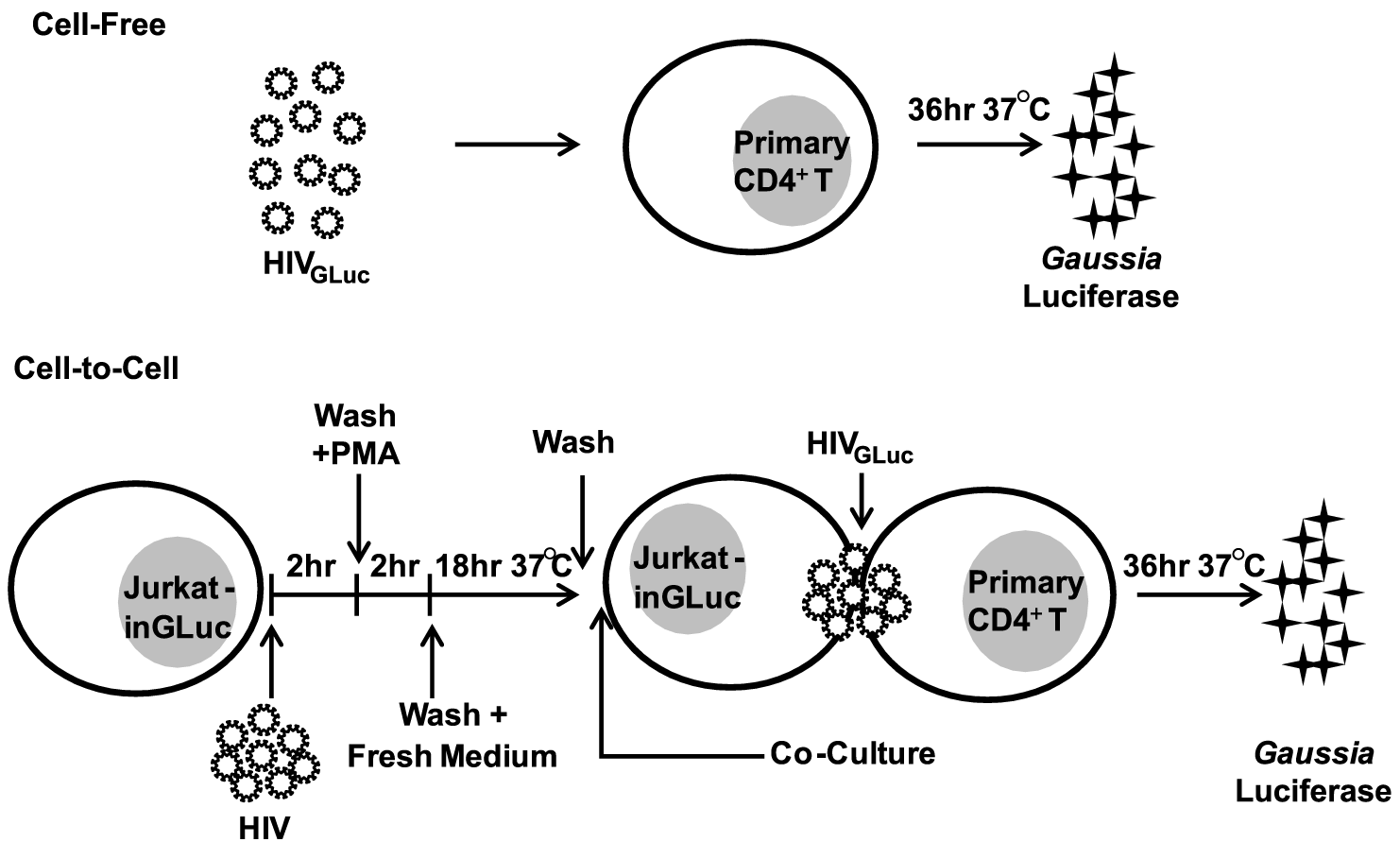 Experimental design for comparing cell-free to cell-to-cell transmission of HIV-1.