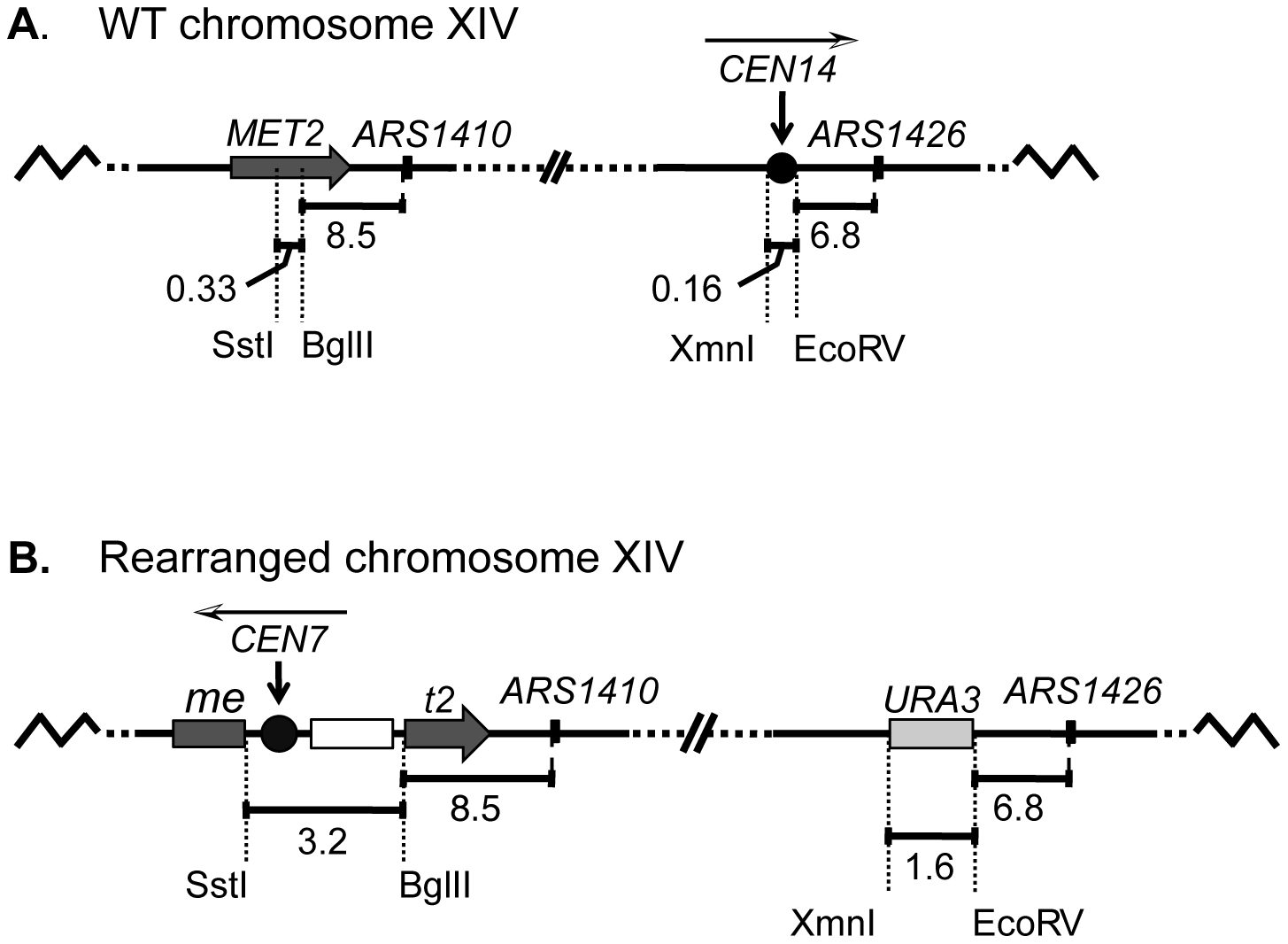 A schematic diagram of chromosome XIV in wild-type (WT) and rearranged strains.
