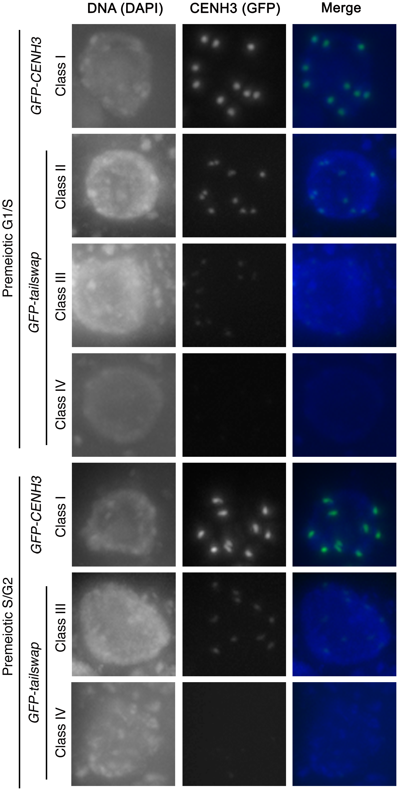GFP-tailswap protein is depleted from kinetochores during pre-meiotic interphase.