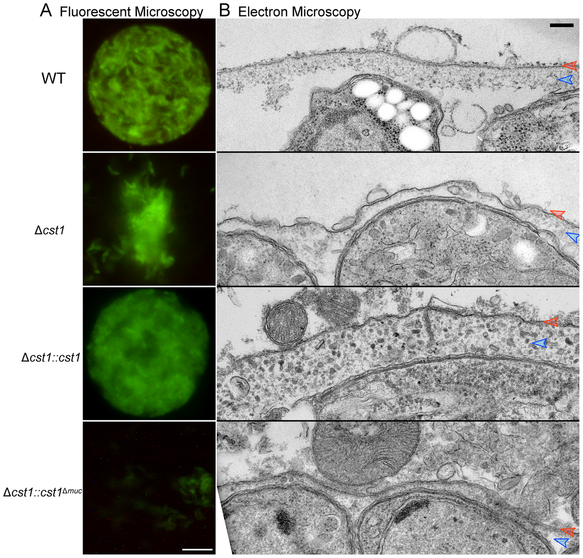 The mucin domain of CST1 is required to form mechanical stress-resistant cyst wall structures.