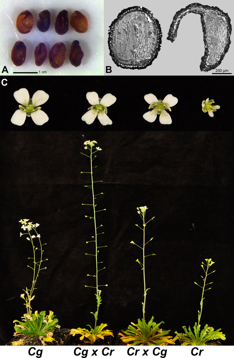 <i>C</i>. <i>rubella</i> × <i>C</i>. <i>grandiflora</i> hybrid embryos are viable, revealing a major role of endosperm defects in hybrid seed incompatibility.