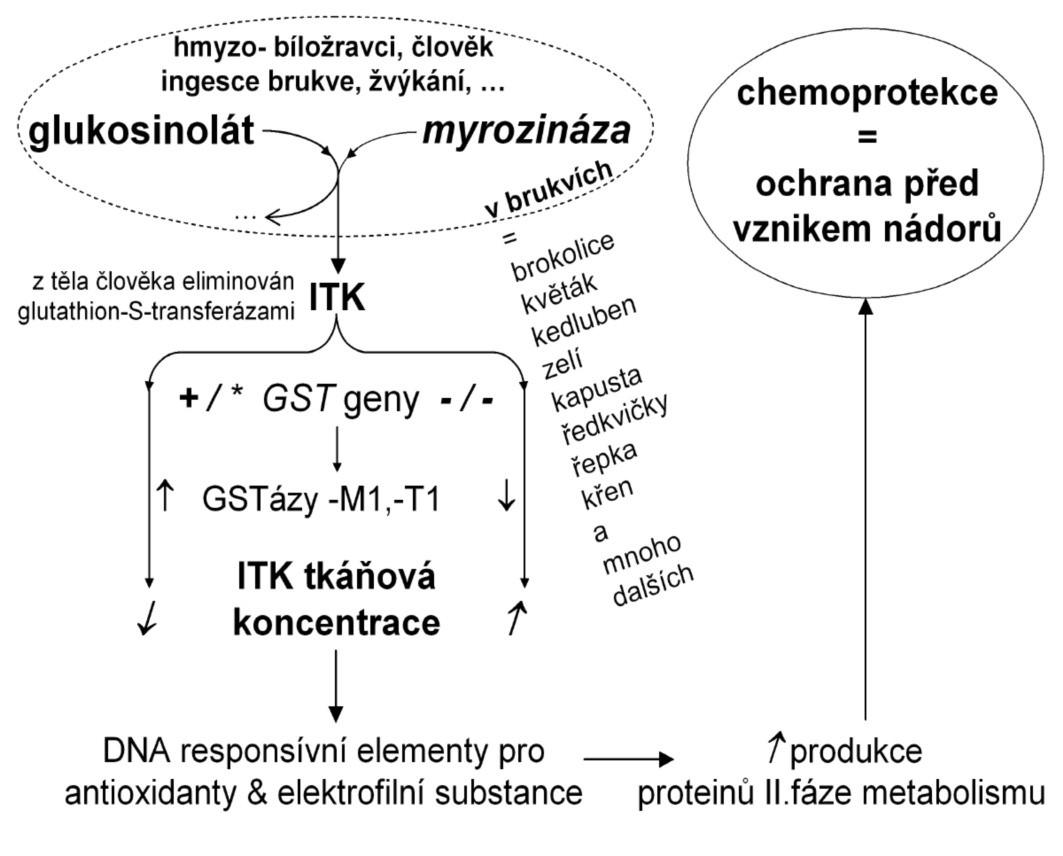 Biotransformace glukosinolátu a izothiokyanátu (ITK) Po narušení struktury brukve krouháním nebo žvýkáním, může enzym myrozináza ze skladovaného glukosinolátu odštěpit ITK. Tkáňové koncentrace ITK mohou být vysoké, je-li brukvovitá zelenina konzumována často, nebo když je aktivita glutathion-S-transferáz (GST), které eliminují ITK z těla, nulová. ITK pak snadno obsadí odpovídající funkční struktury na DNA, a tím aktivuje produkci celé řady dalších enzymů II. fáze metabolismu, které jsou zodpovědně za neutralizaci a odchod nebezpečných molekul z organismu. Biotransformace glukosinolátu, při níž vzniká vedle ITK také indol-3-karbinol a celá řada dalších látek, se v evoluci u brukvovitých vyvinula, aby je ochránila před hmyzem. Když se červ zahryzne do brukve, vysoké koncentrace ITK jej mohou usmrtit, působí repelentně i antimikrobiálně.