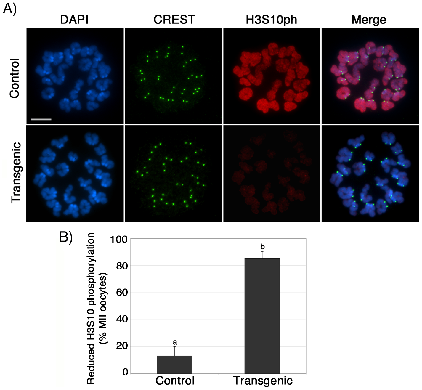 Reduced phosphorylation of histone H3 at serine 10 (H3S10ph) in the chromosomes of ATRX-deficient oocytes.