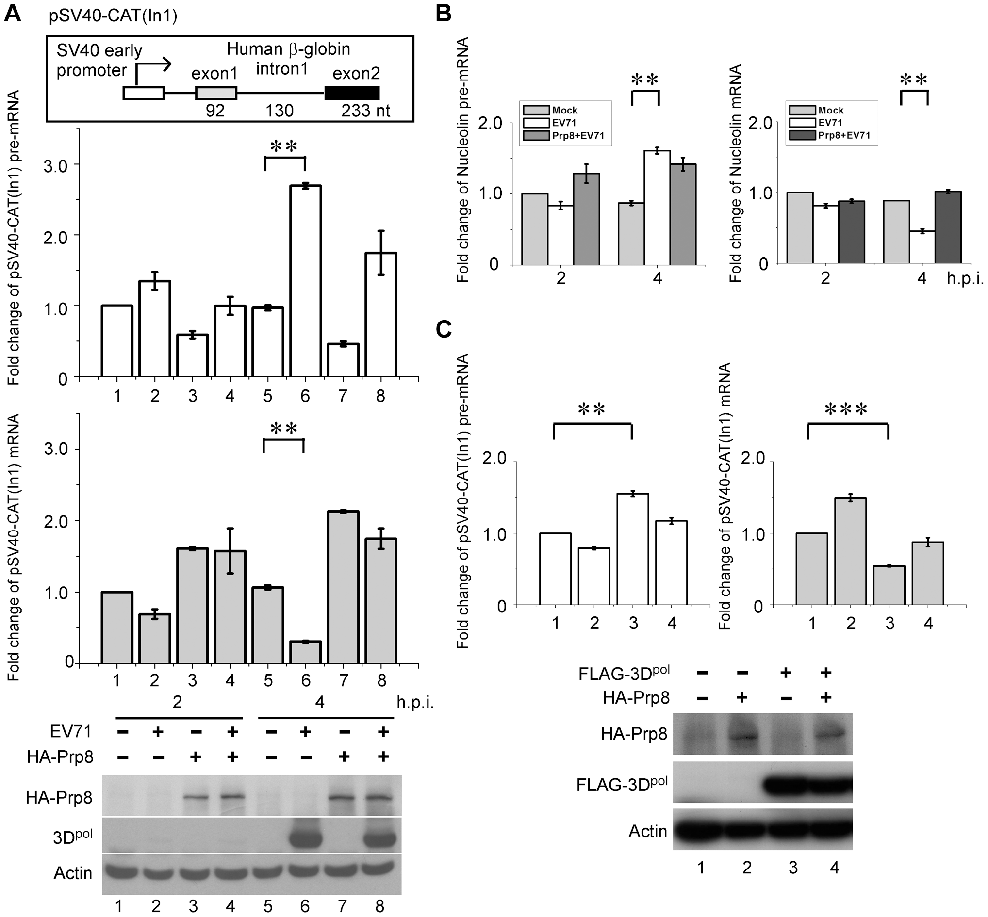 3D<sup>pol</sup> affects cellular pre-mRNA splicing by interacting with Prp8.