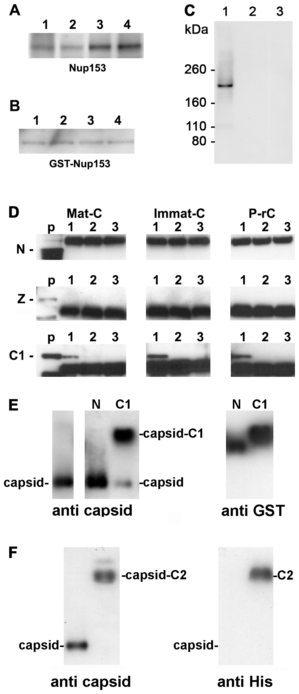 Co-immune precipitations of human Nup153 and Nup153 fragments with different capsids.