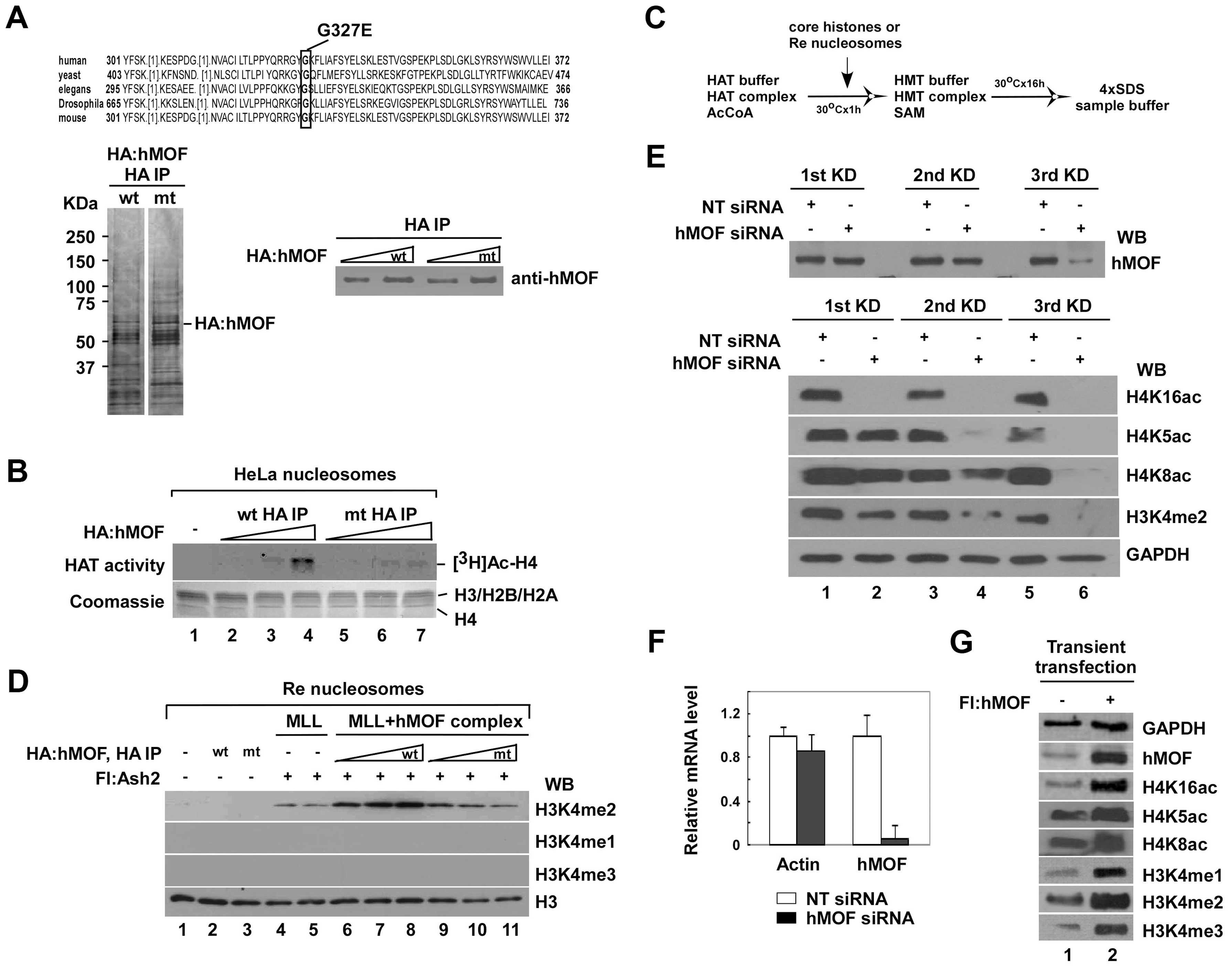 The activity of histone H3K4 methylation is facilitated by hMOF-containing complexes both <i>in vitro</i> and <i>in vivo</i>.