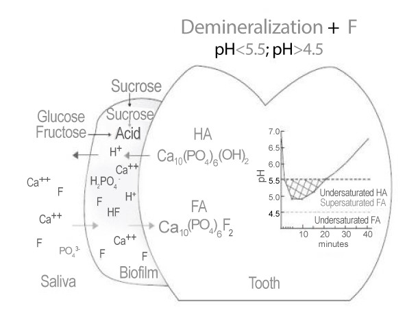Demineralization by Fluoride (In dental Biofilm)