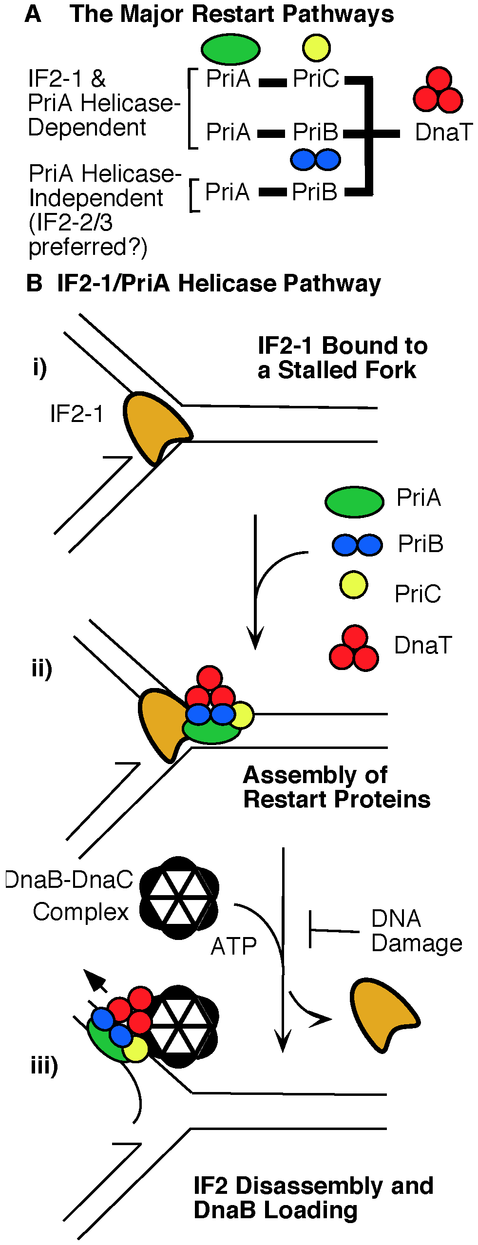 Role of IF2 isoforms in the major replication restart pathways.