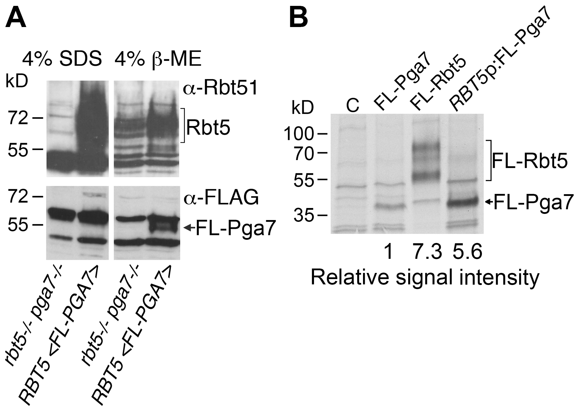 Rbt5 is more abundantly expressed than Pga7.