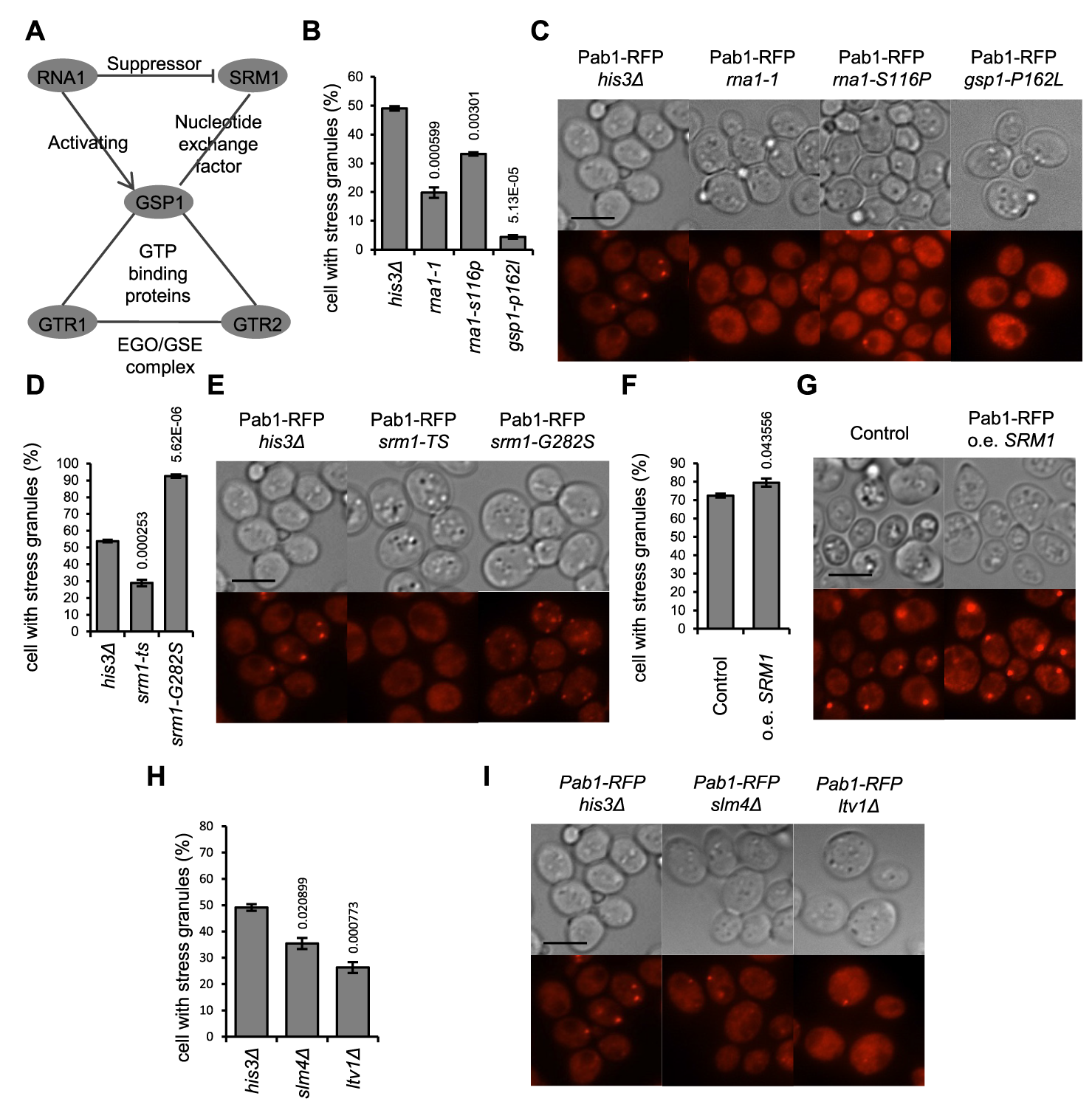 Mutants defective in control of the Ran GTPase homolog have a deregulated SG stress response.