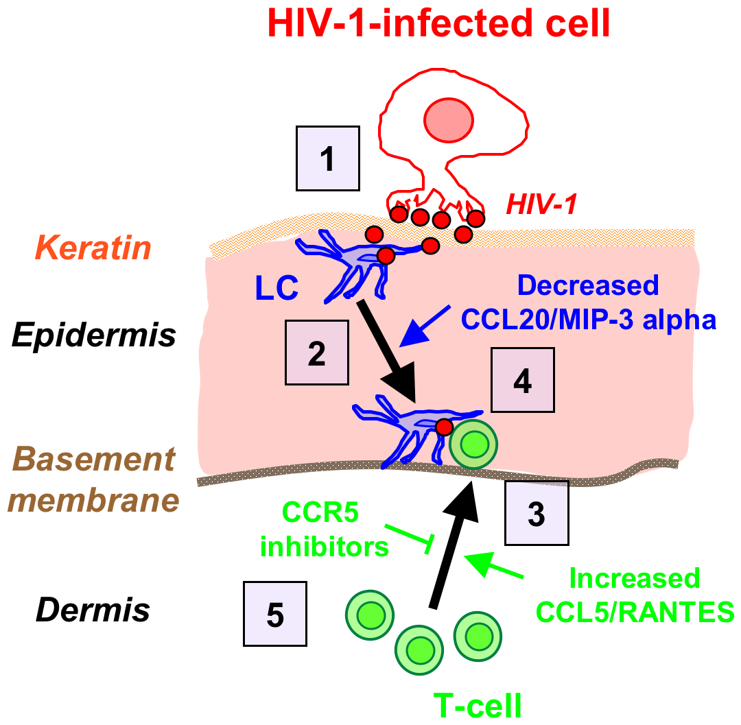 Schematized 'chain-of-events' of HIV-1 early entry in the inner foreskin.