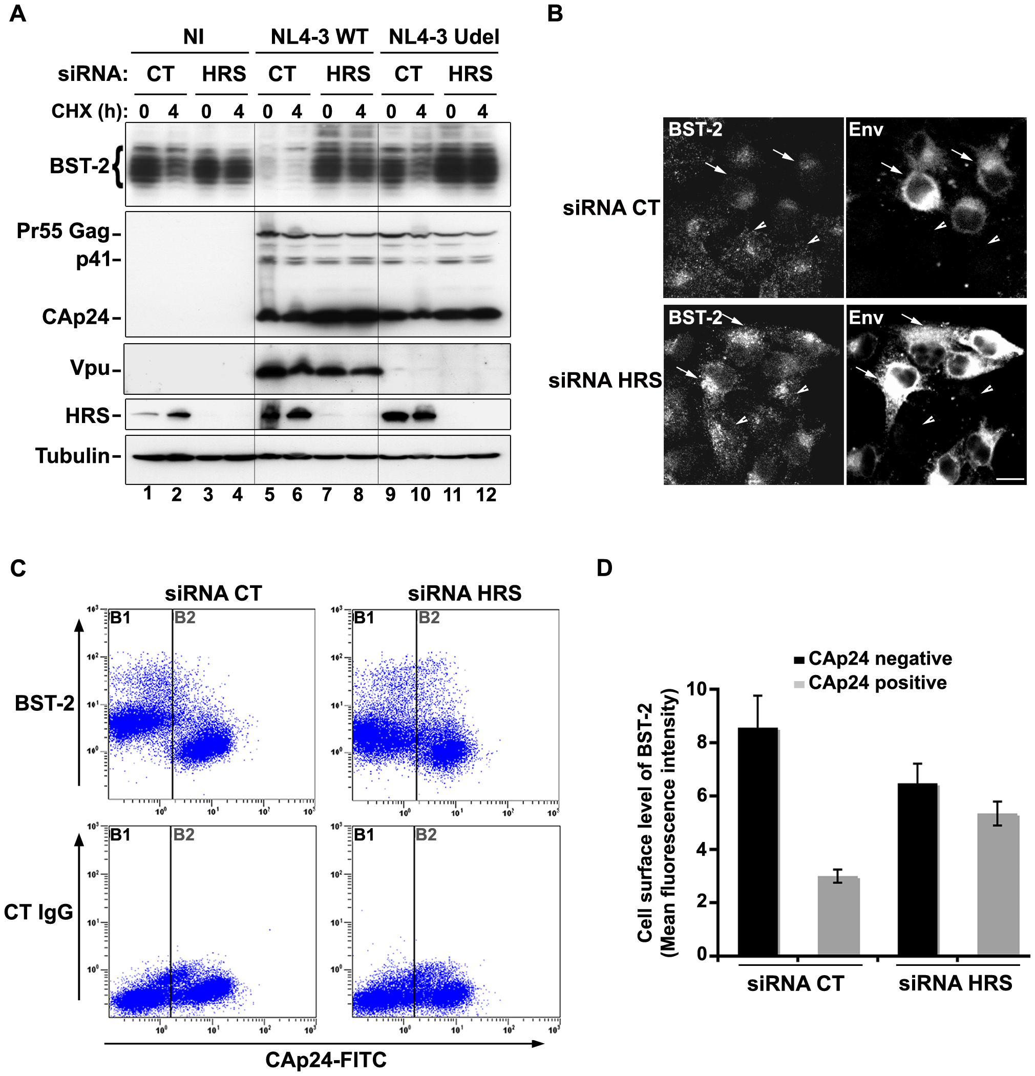 HRS is required for Vpu-induced BST-2 degradation and cell surface down-regulation.