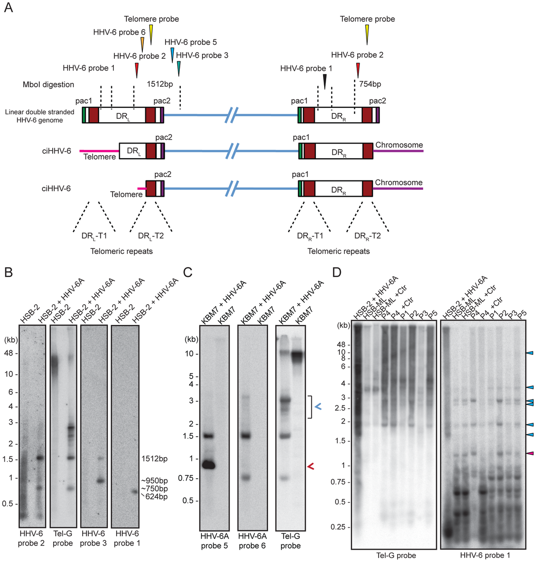 Detection of differentially processed ciHHV-6 ends.
