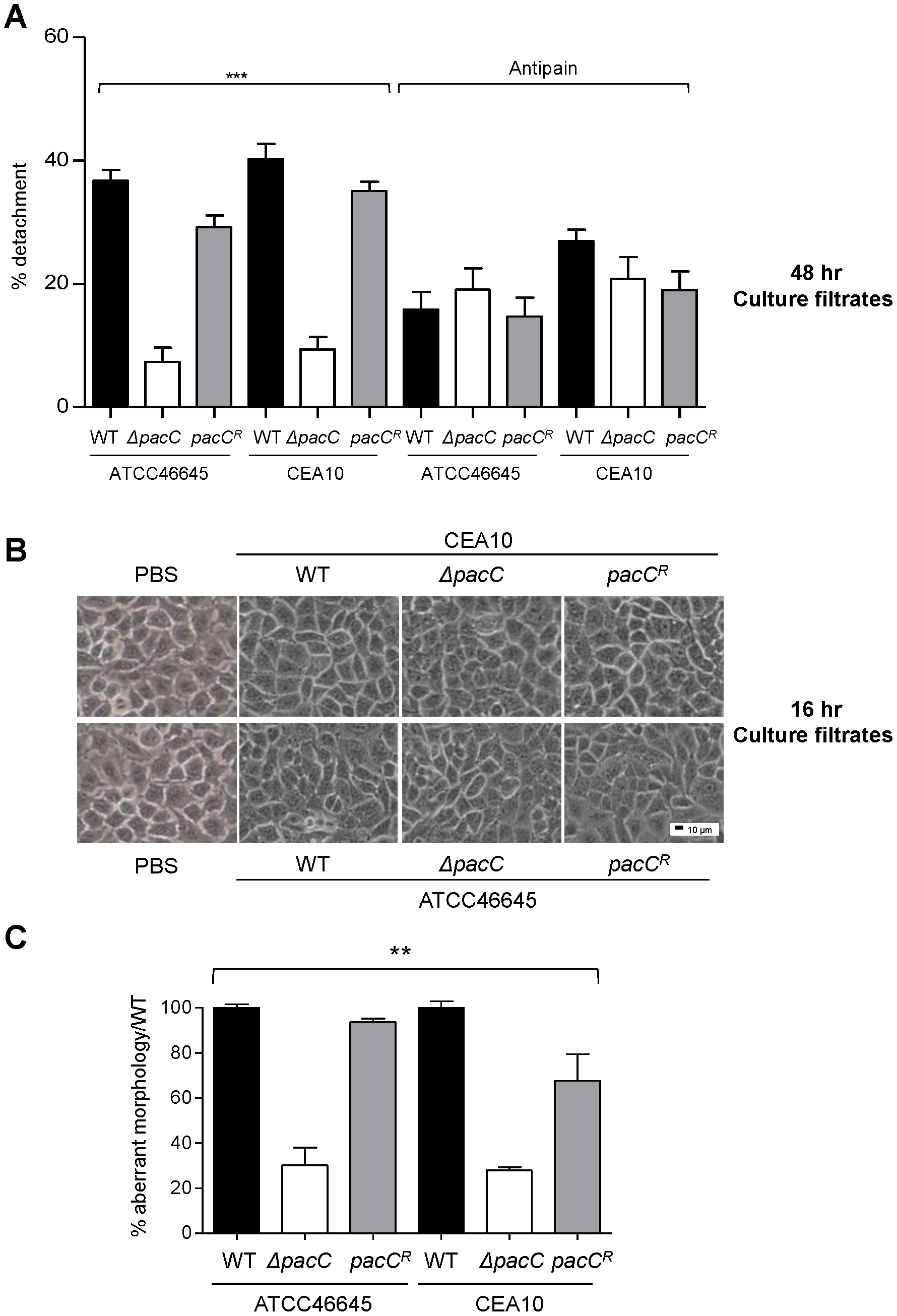 Distinct and sequential PacC-dependent activities elicit epithelial decay.