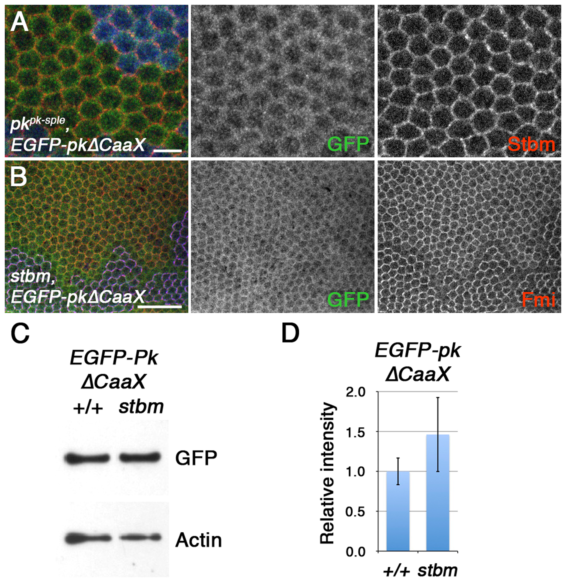 Farnesylation is required for Stbm to promote Pk recruitment to junctions and Pk degradation.