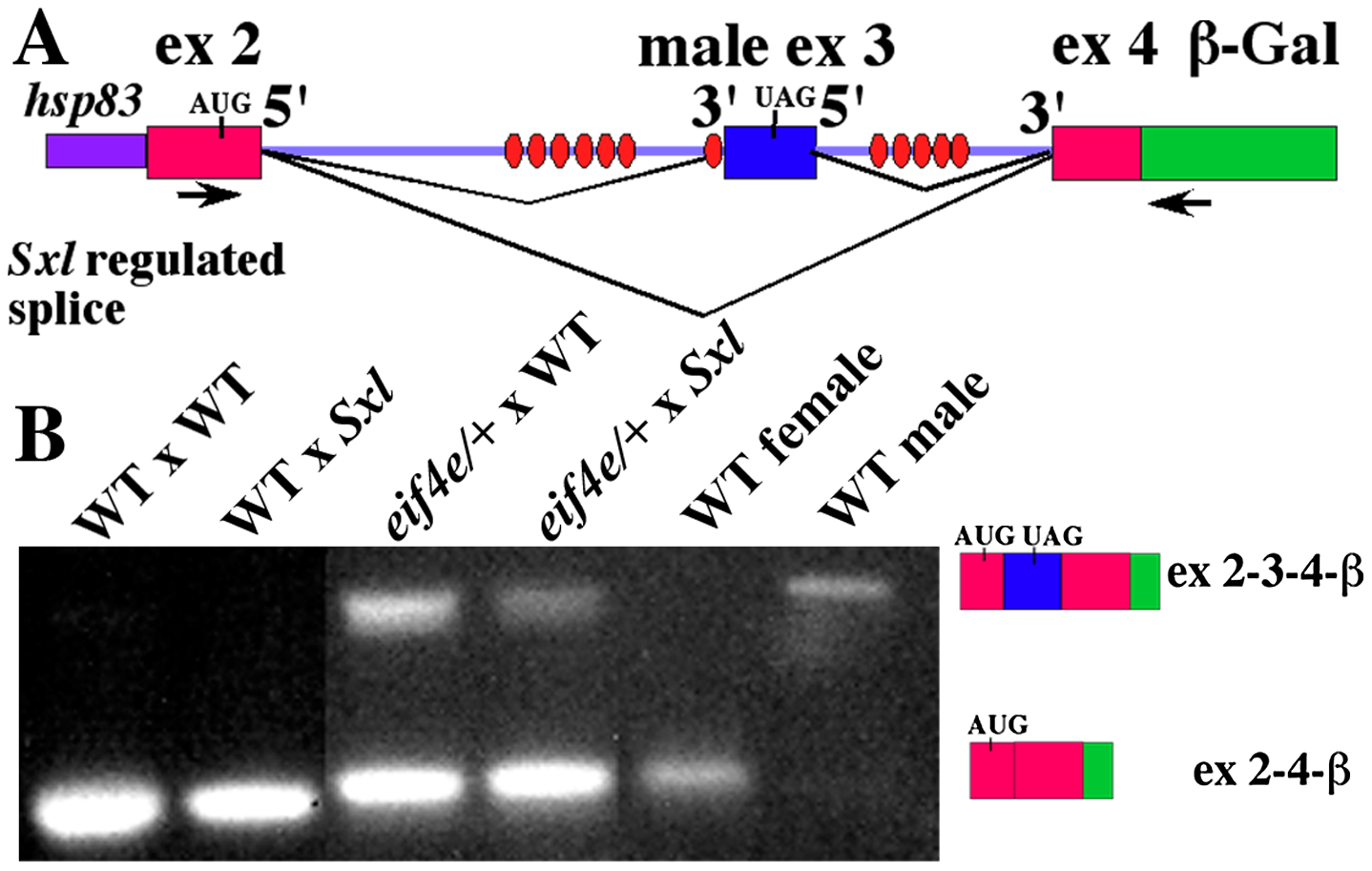 Female progeny of <i>eif4e/+</i> mothers produce male transcripts during early embryogenesis and in splicing compromised backgrounds.