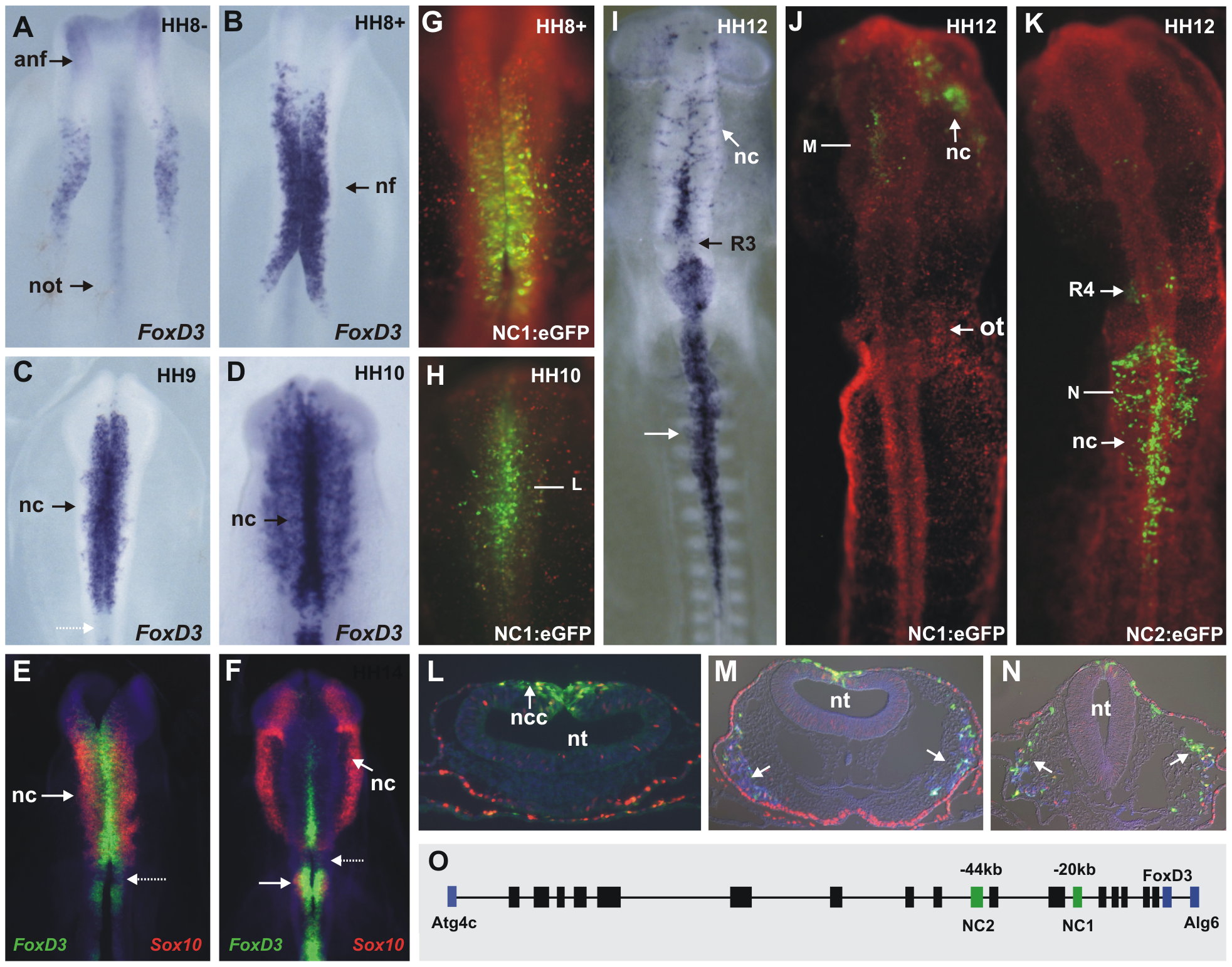 Endogenous FoxD3 in the neural crest is reflected by activity of two enhancers, NC1 and NC2.